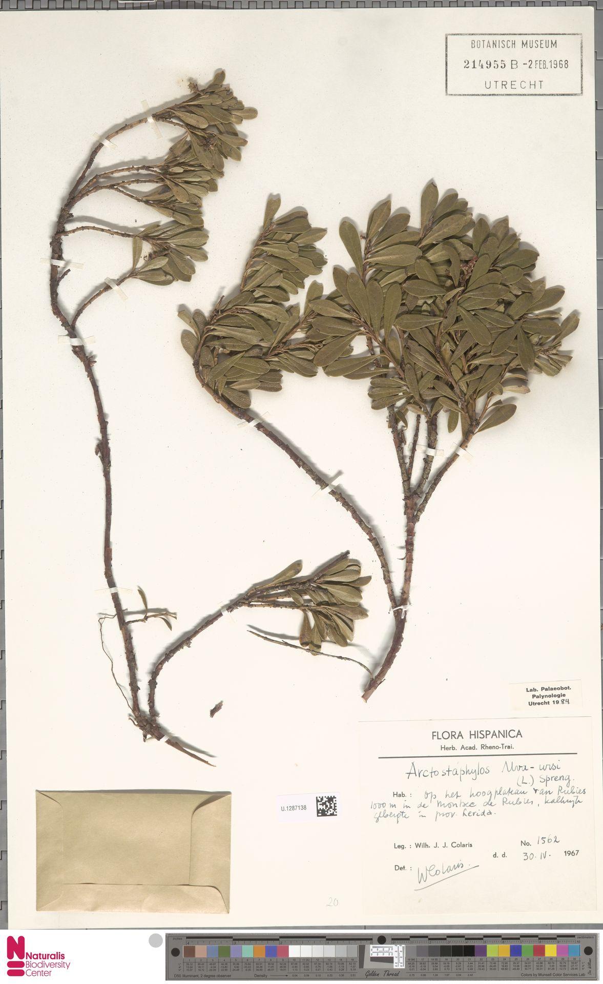 U.1287138   Arctostaphylos uva-ursi (L.) Spreng.