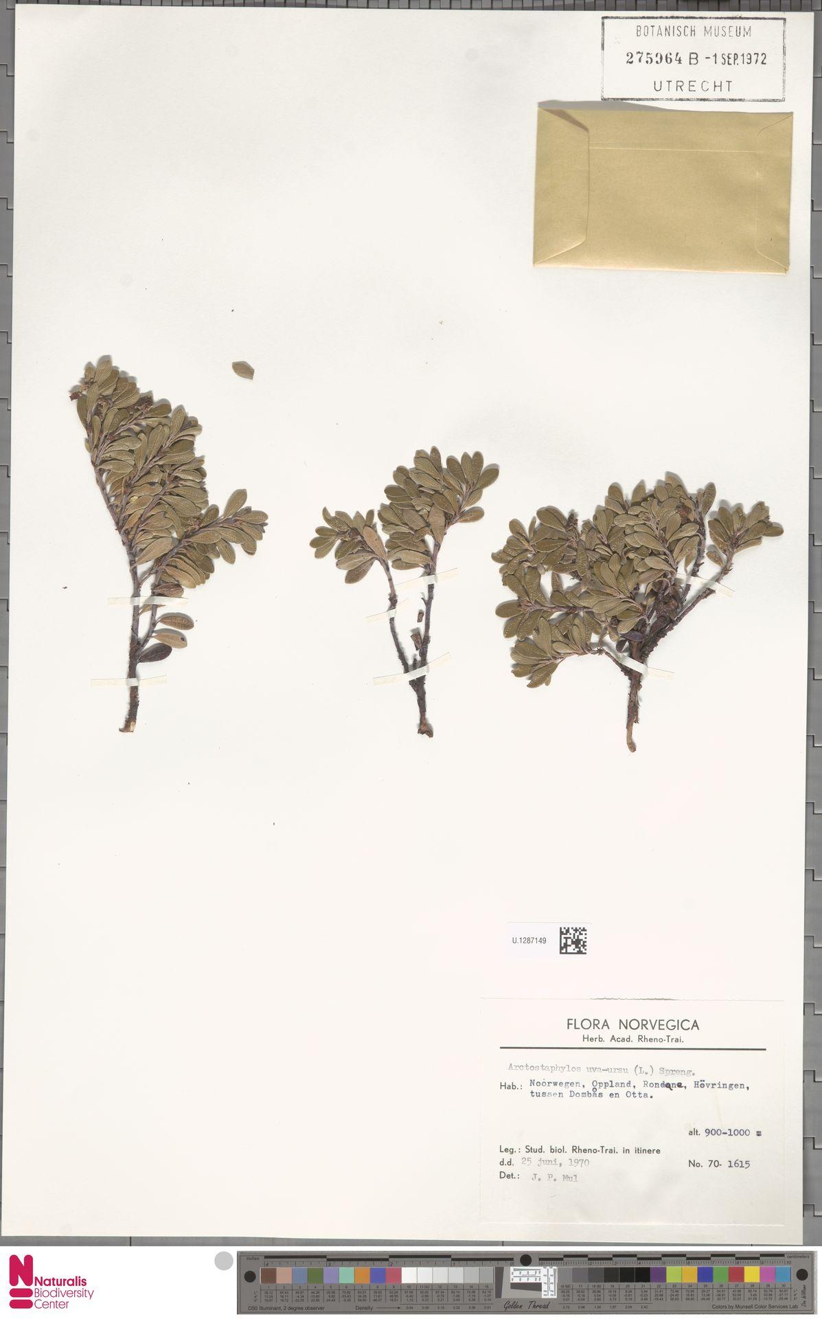 U.1287149   Arctostaphylos uva-ursi (L.) Spreng.