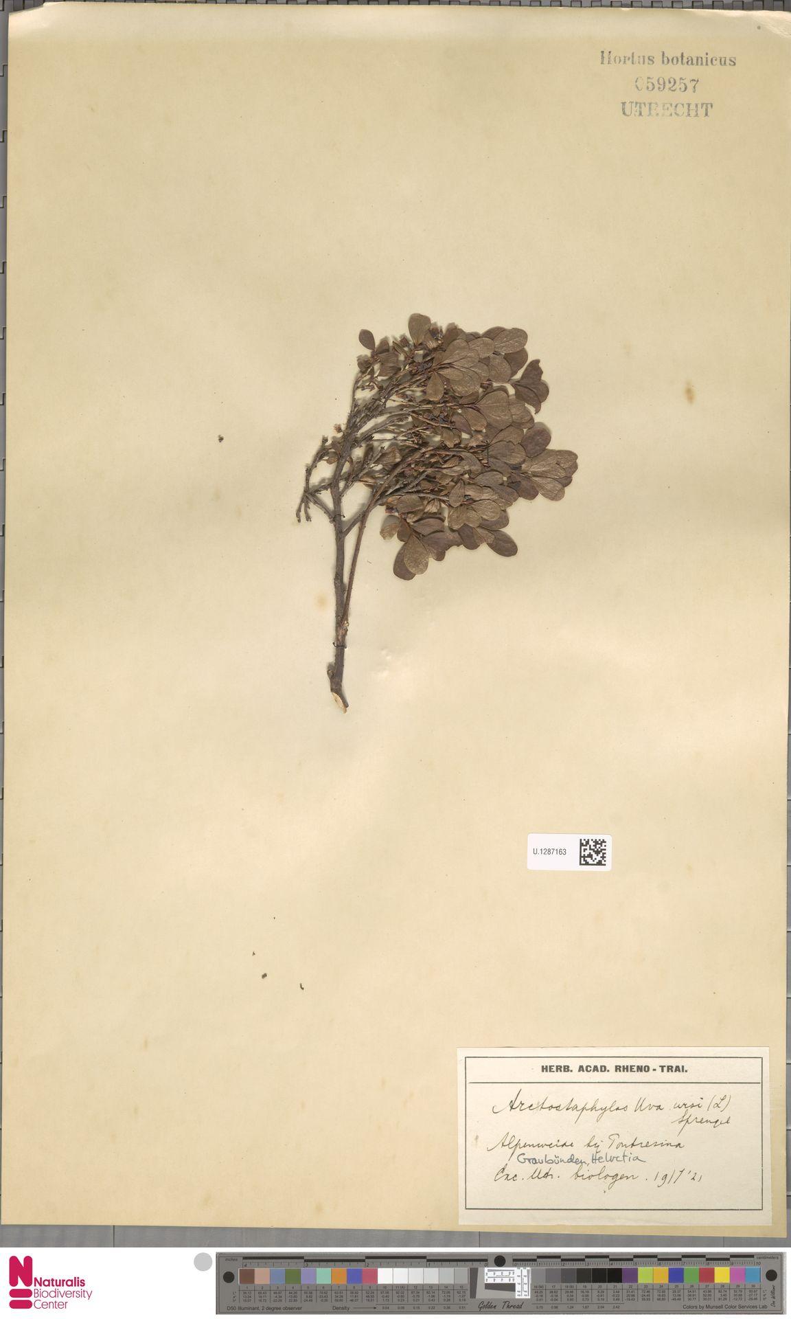 U.1287163   Arctostaphylos uva-ursi (L.) Spreng.