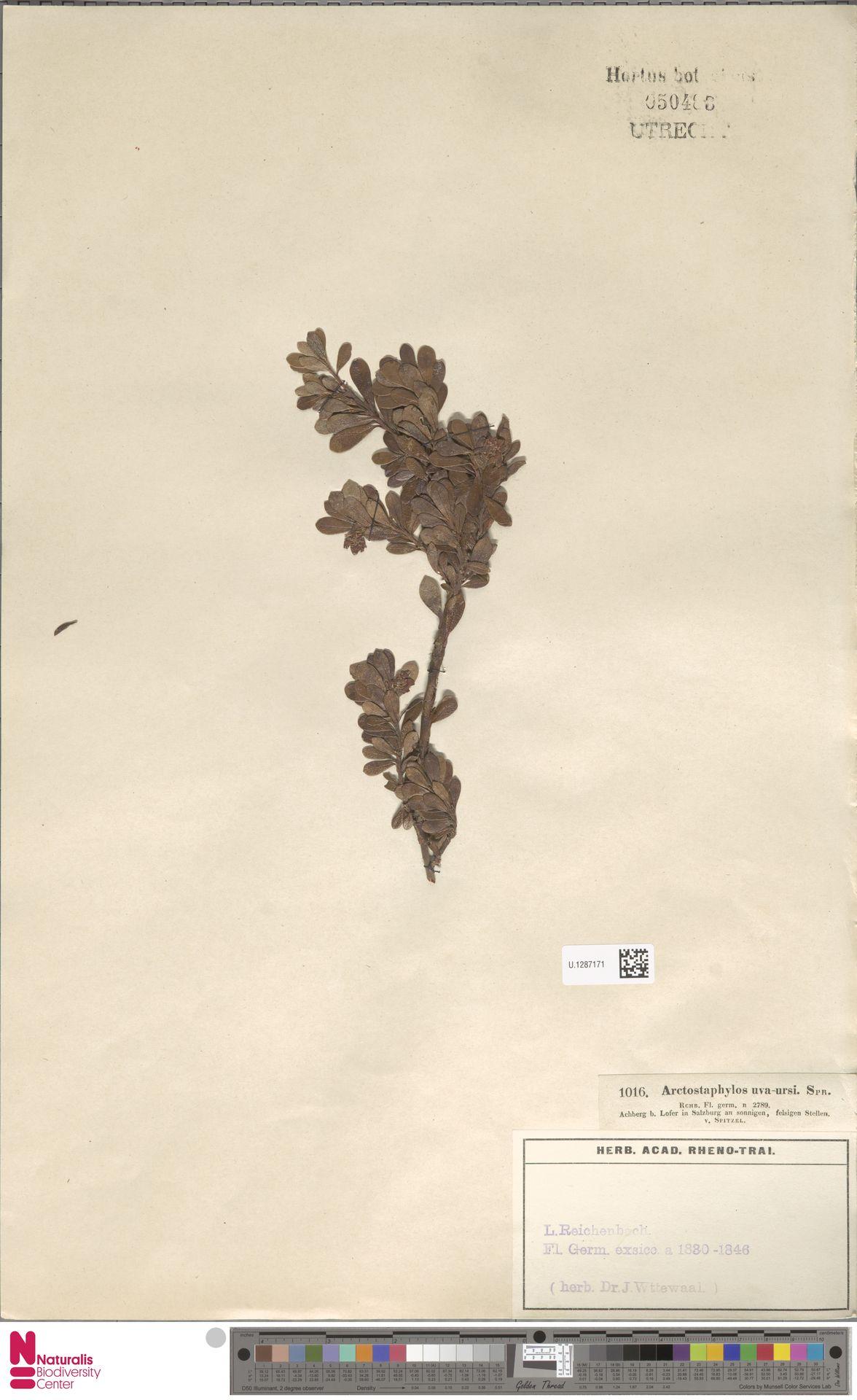 U.1287171 | Arctostaphylos uva-ursi (L.) Spreng.