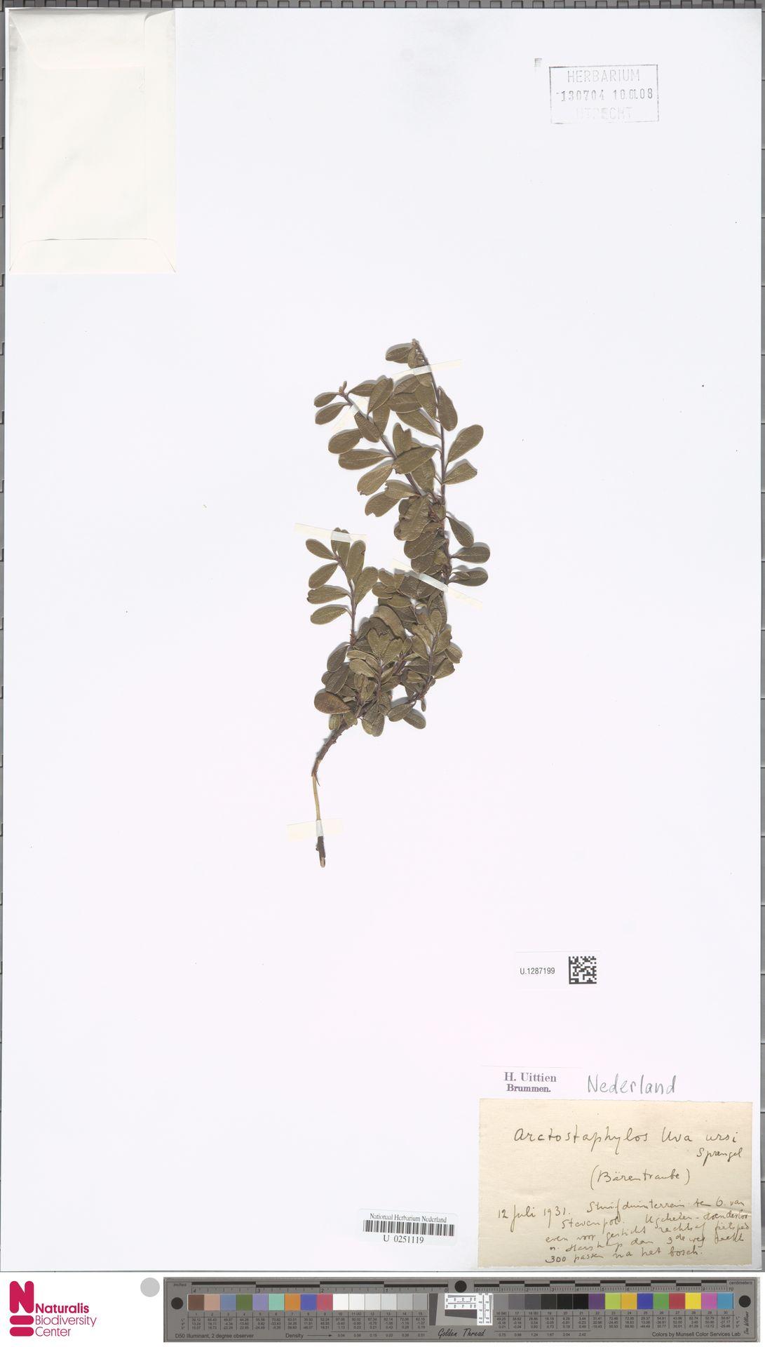 U.1287199 | Arctostaphylos uva-ursi (L.) Spreng.