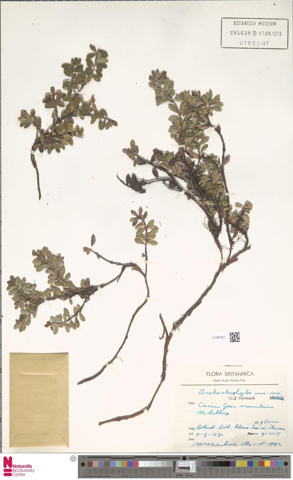U.1287251 | Arctostaphylos uva-ursi (L.) Spreng.