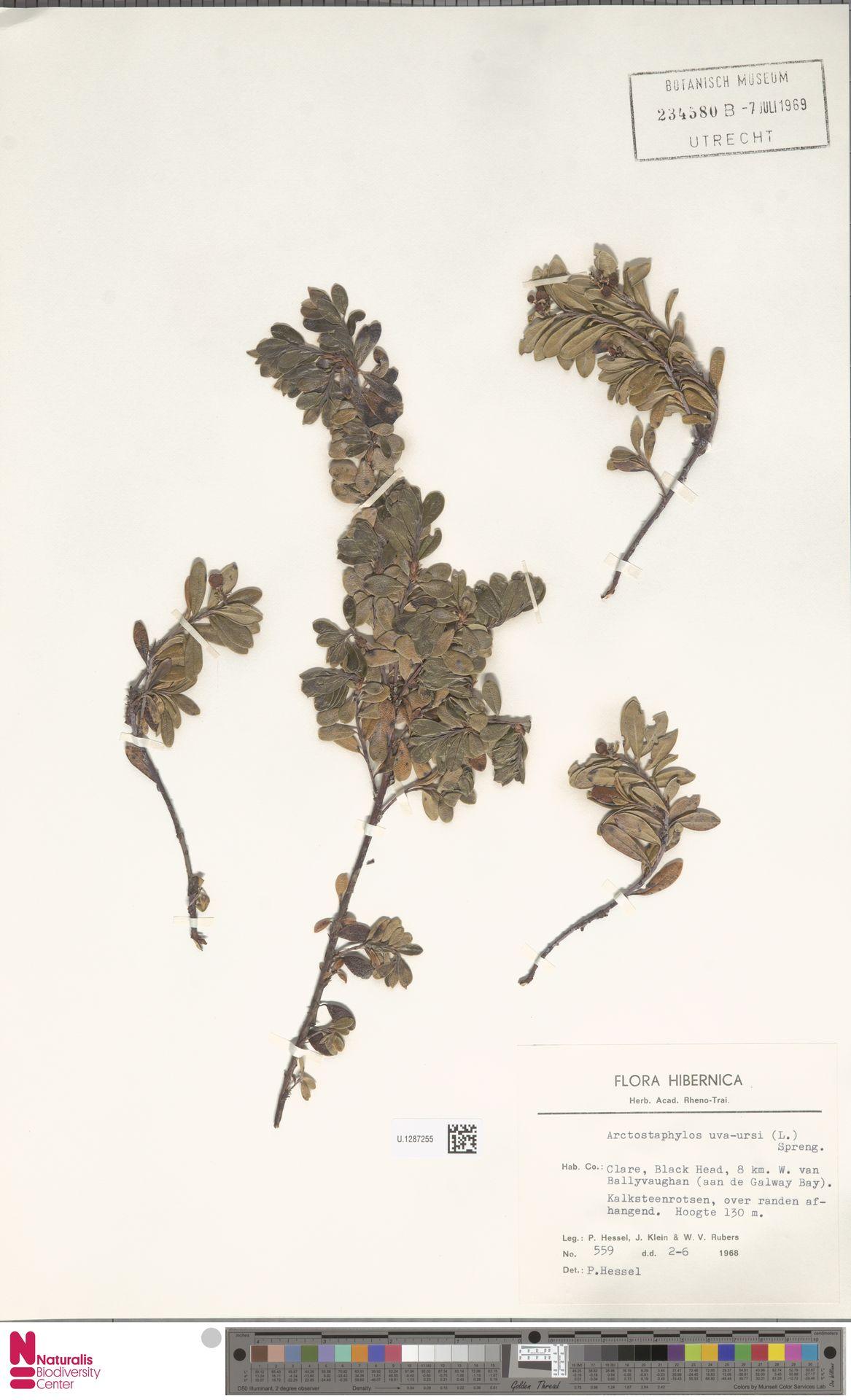 U.1287255 | Arctostaphylos uva-ursi (L.) Spreng.