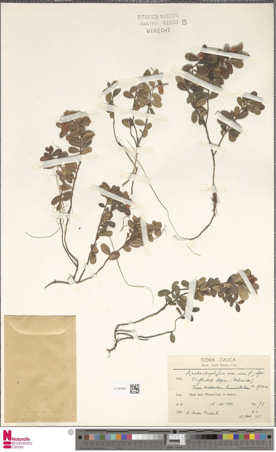 U.1287256 | Arctostaphylos uva-ursi (L.) Spreng.