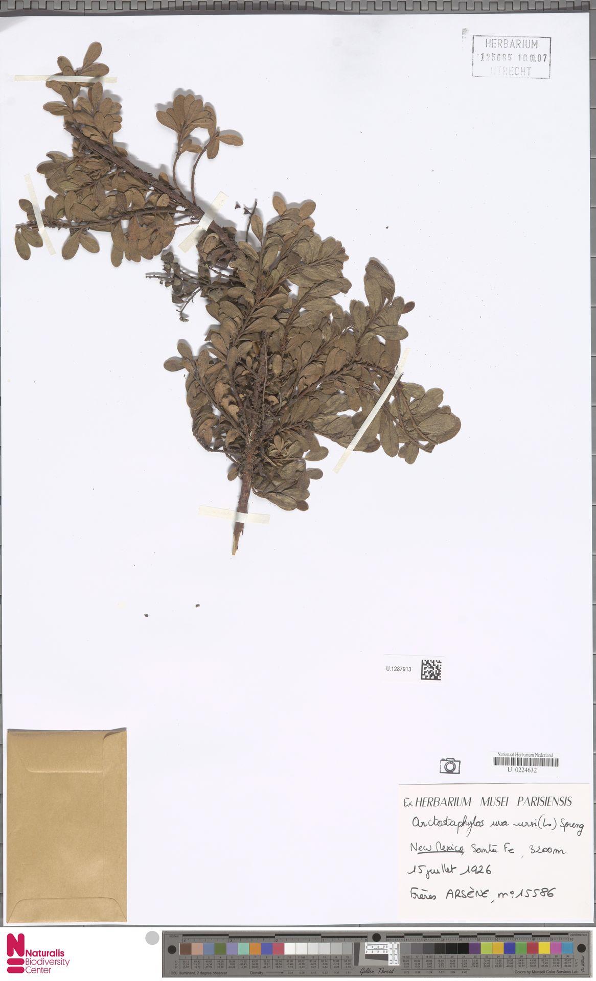 U.1287913   Arctostaphylos uva-ursi (L.) Spreng.