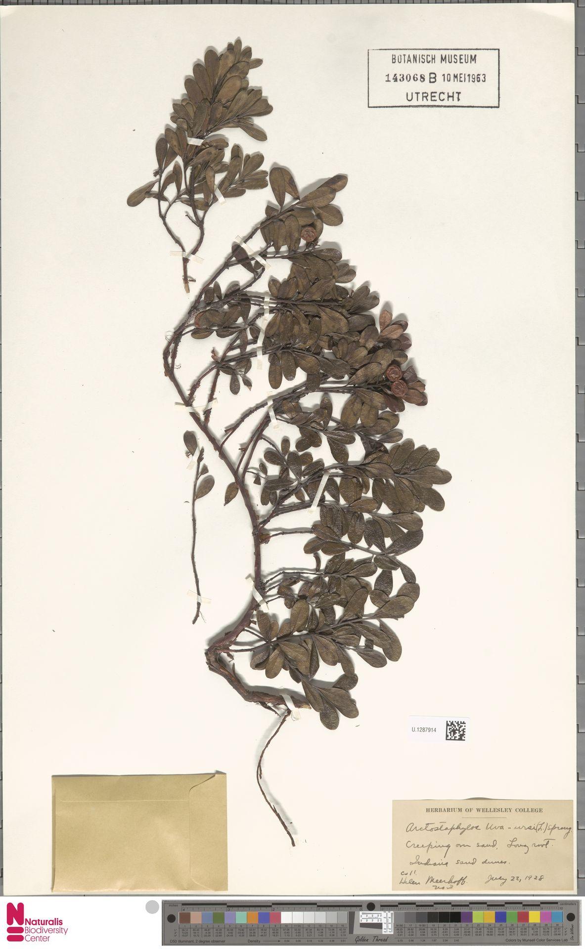 U.1287914 | Arctostaphylos uva-ursi (L.) Spreng.