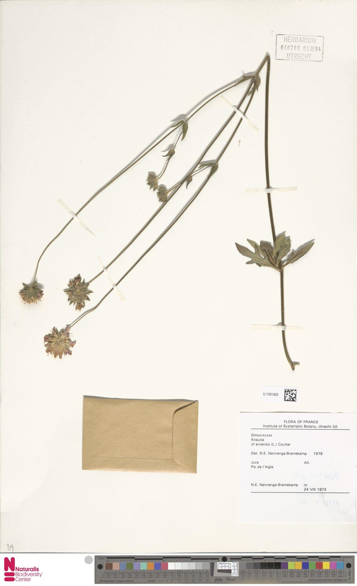 U.1291805 | Knautia arvensis (L.) Coult.