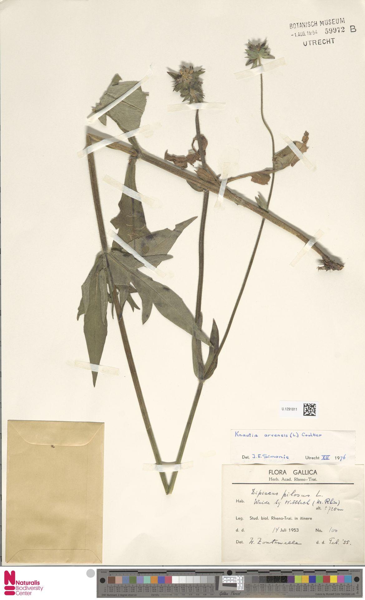 U.1291811 | Knautia arvensis (L.) Coult.
