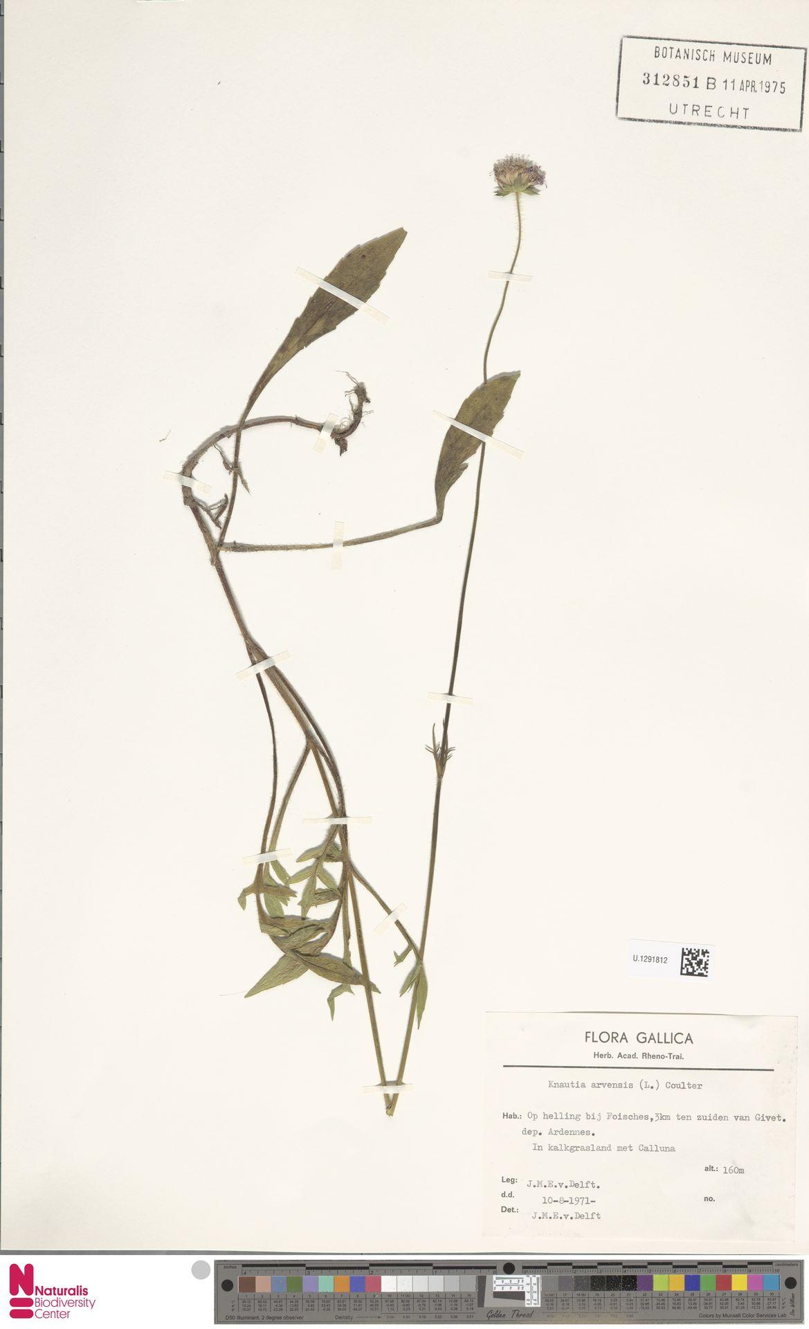 U.1291812 | Knautia arvensis (L.) Coult.