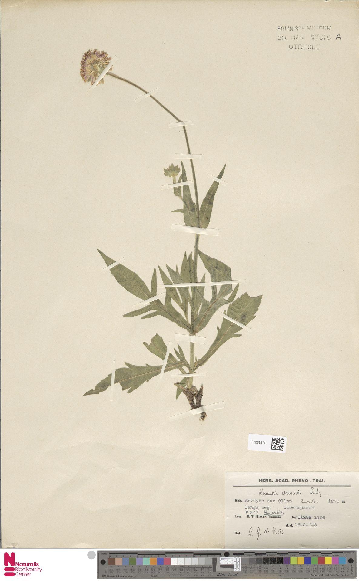 U.1291814 | Knautia arvensis (L.) Coult.