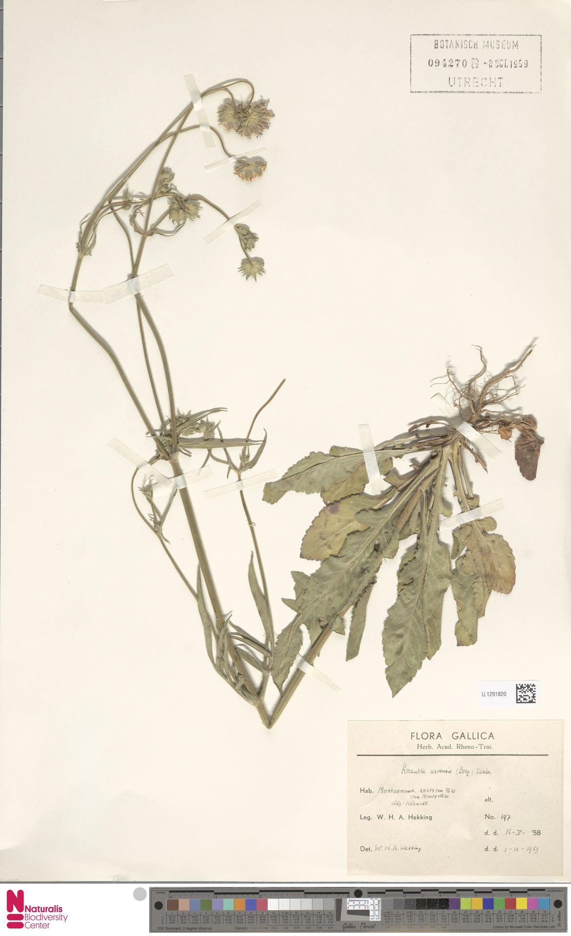 U.1291820 | Knautia arvensis (L.) Coult.
