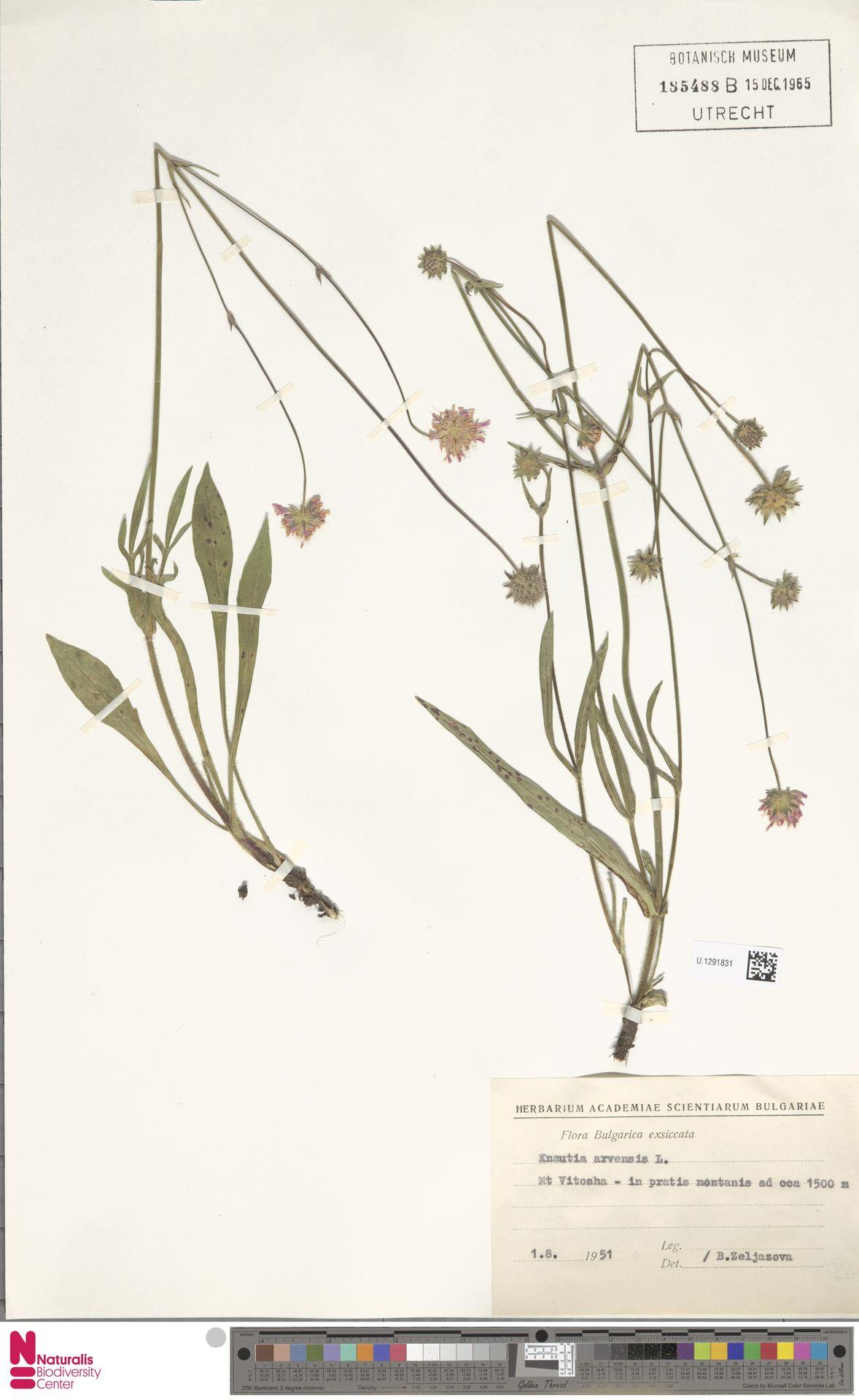 U.1291831 | Knautia arvensis (L.) Coult.