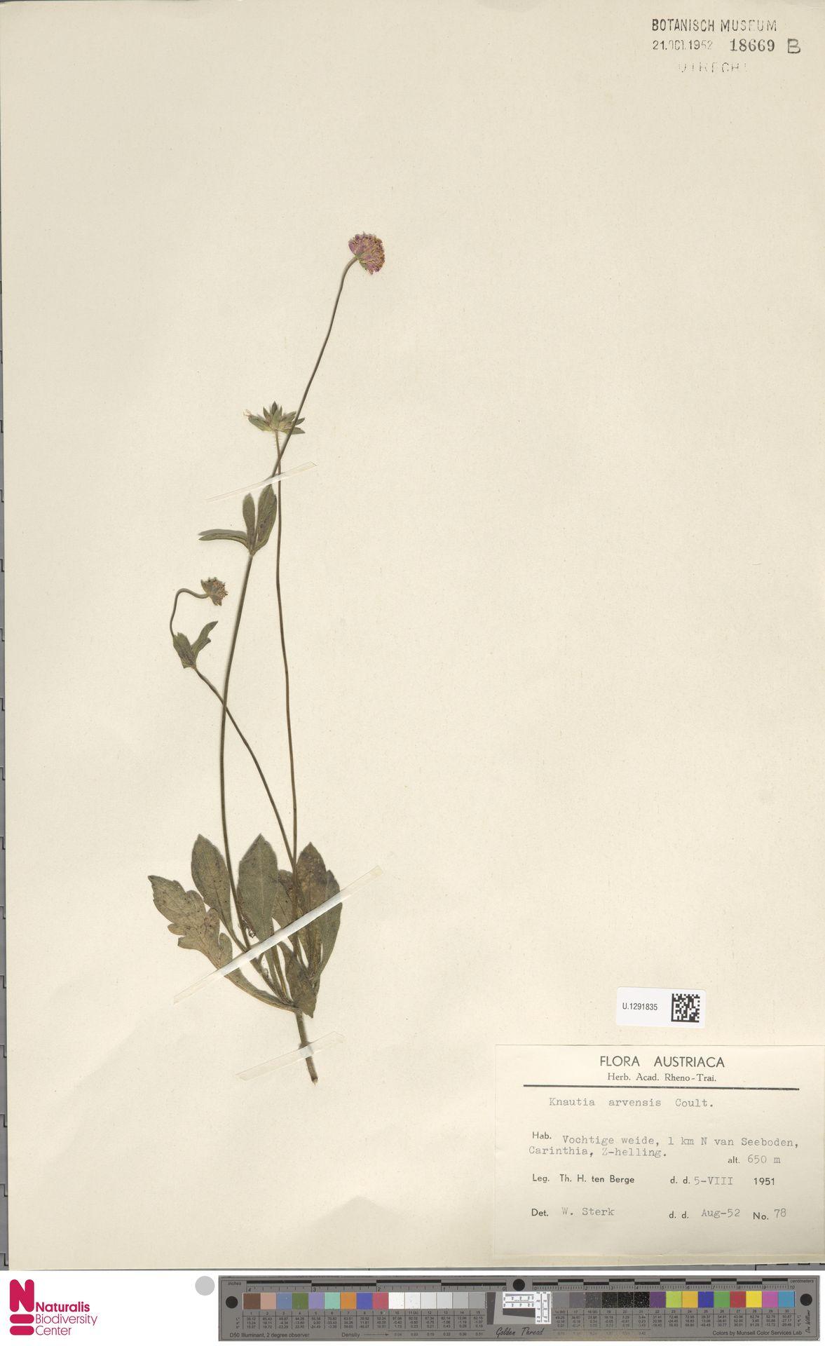 U.1291835 | Knautia arvensis (L.) Coult.