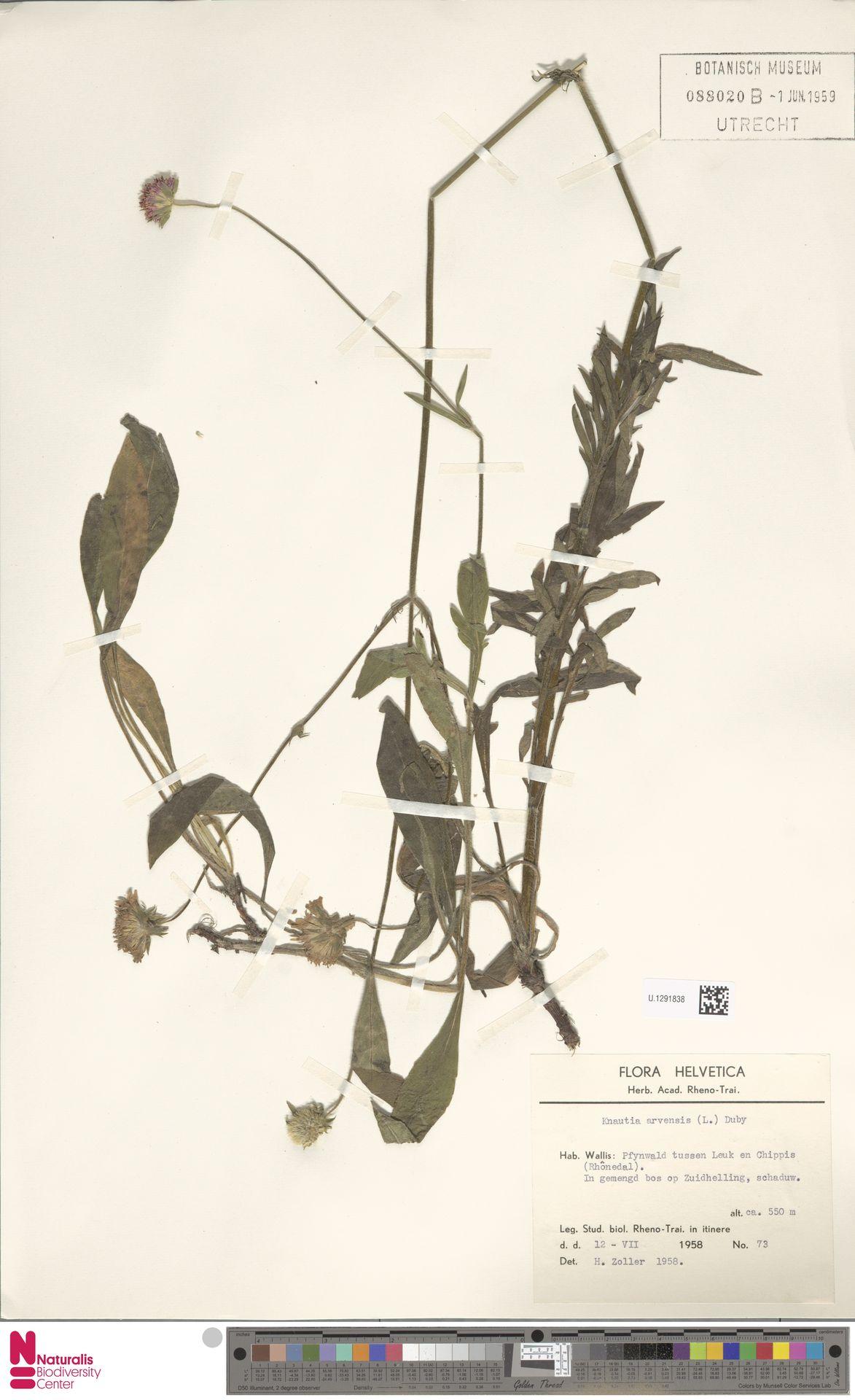U.1291838   Knautia arvensis (L.) Coult.