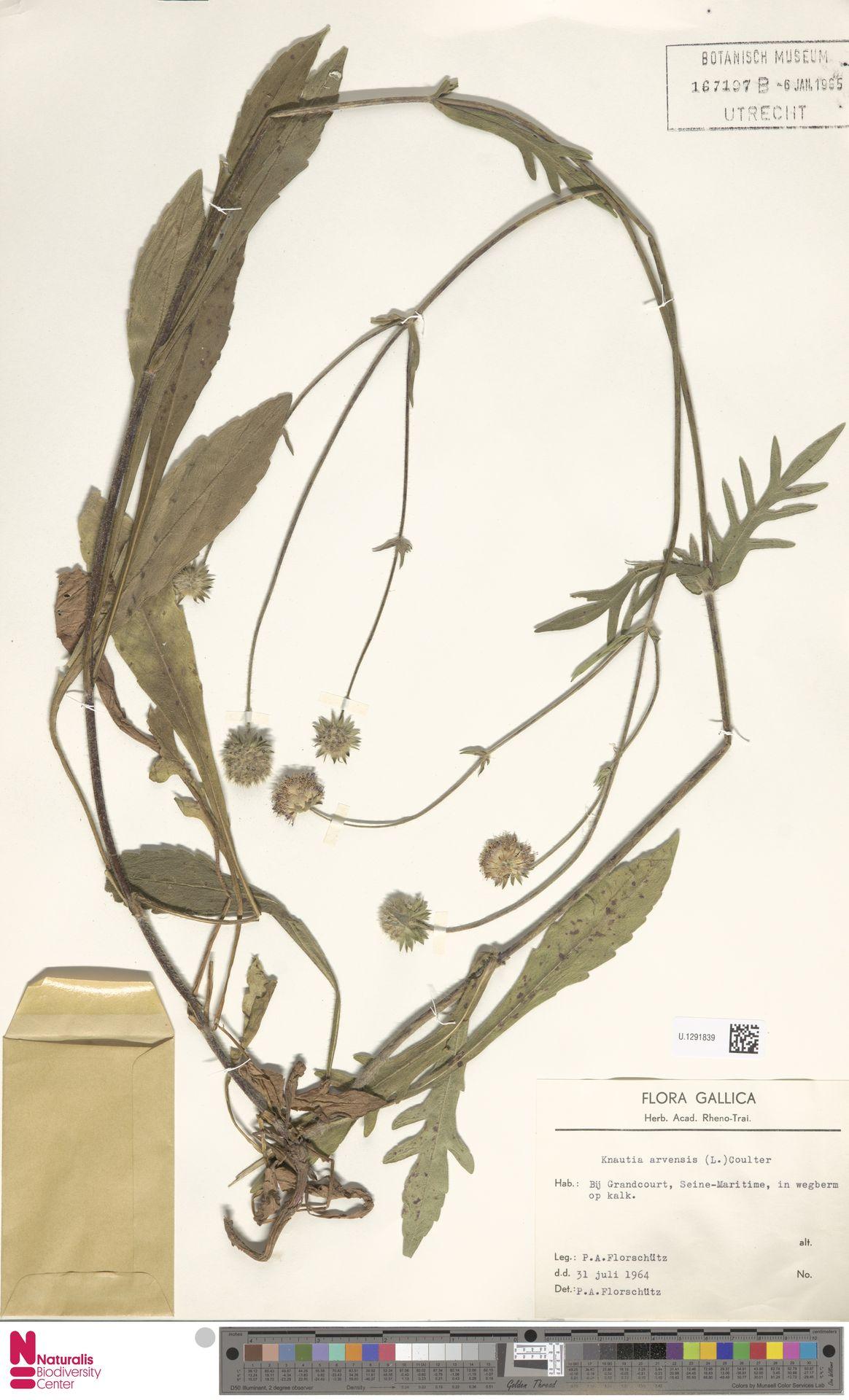 U.1291839   Knautia arvensis (L.) Coult.