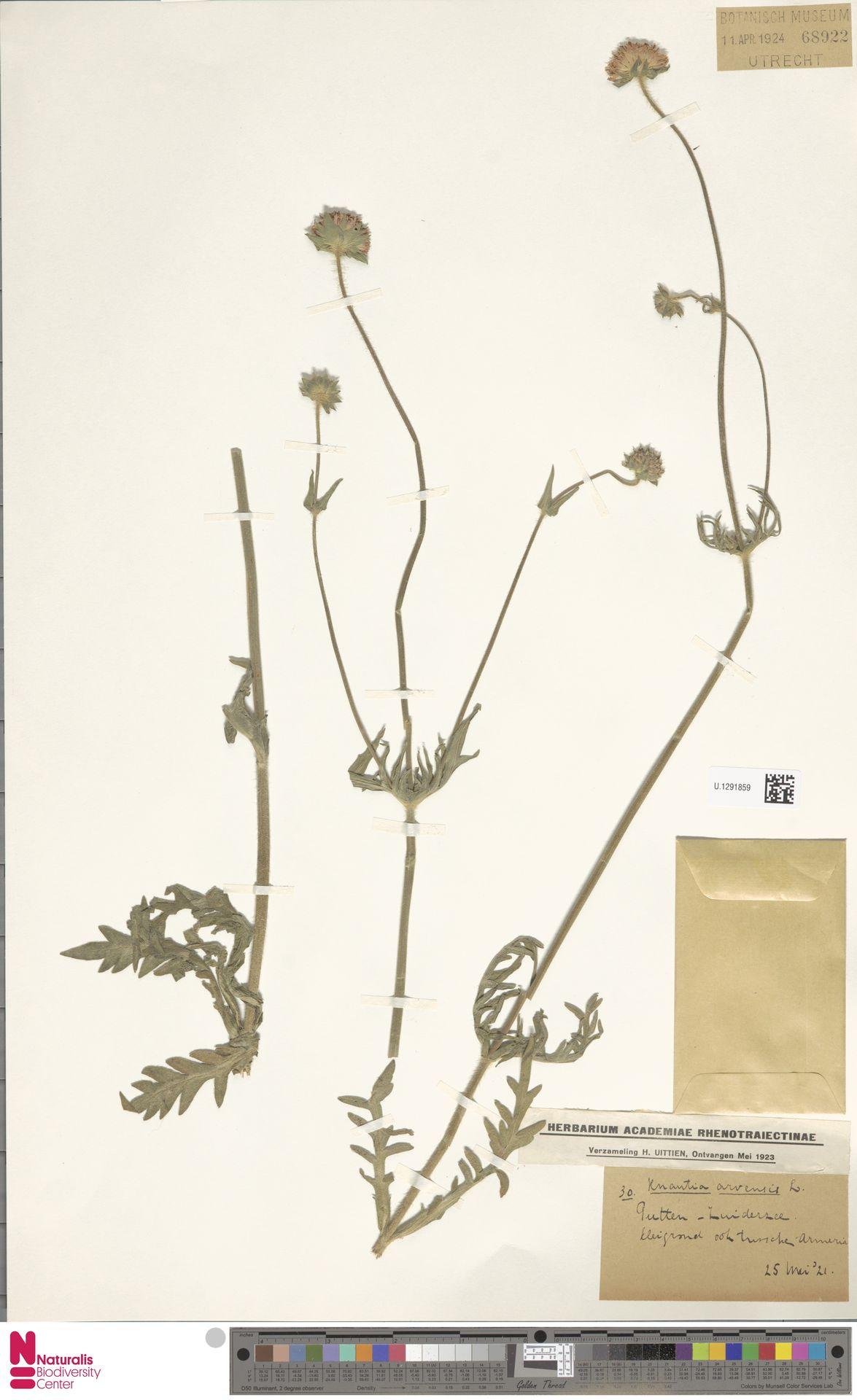 U.1291859 | Knautia arvensis (L.) Coult.