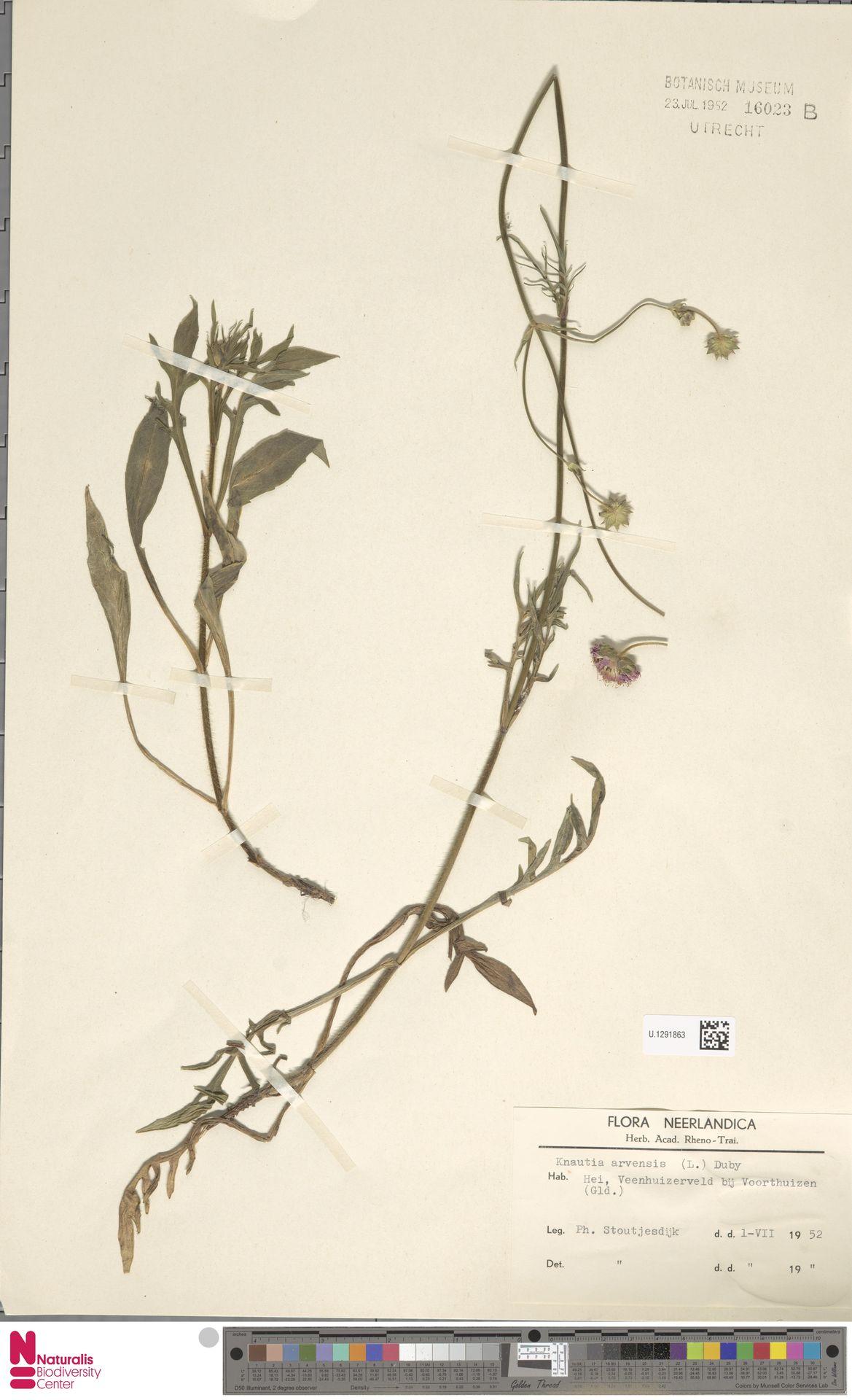 U.1291863 | Knautia arvensis (L.) Coult.