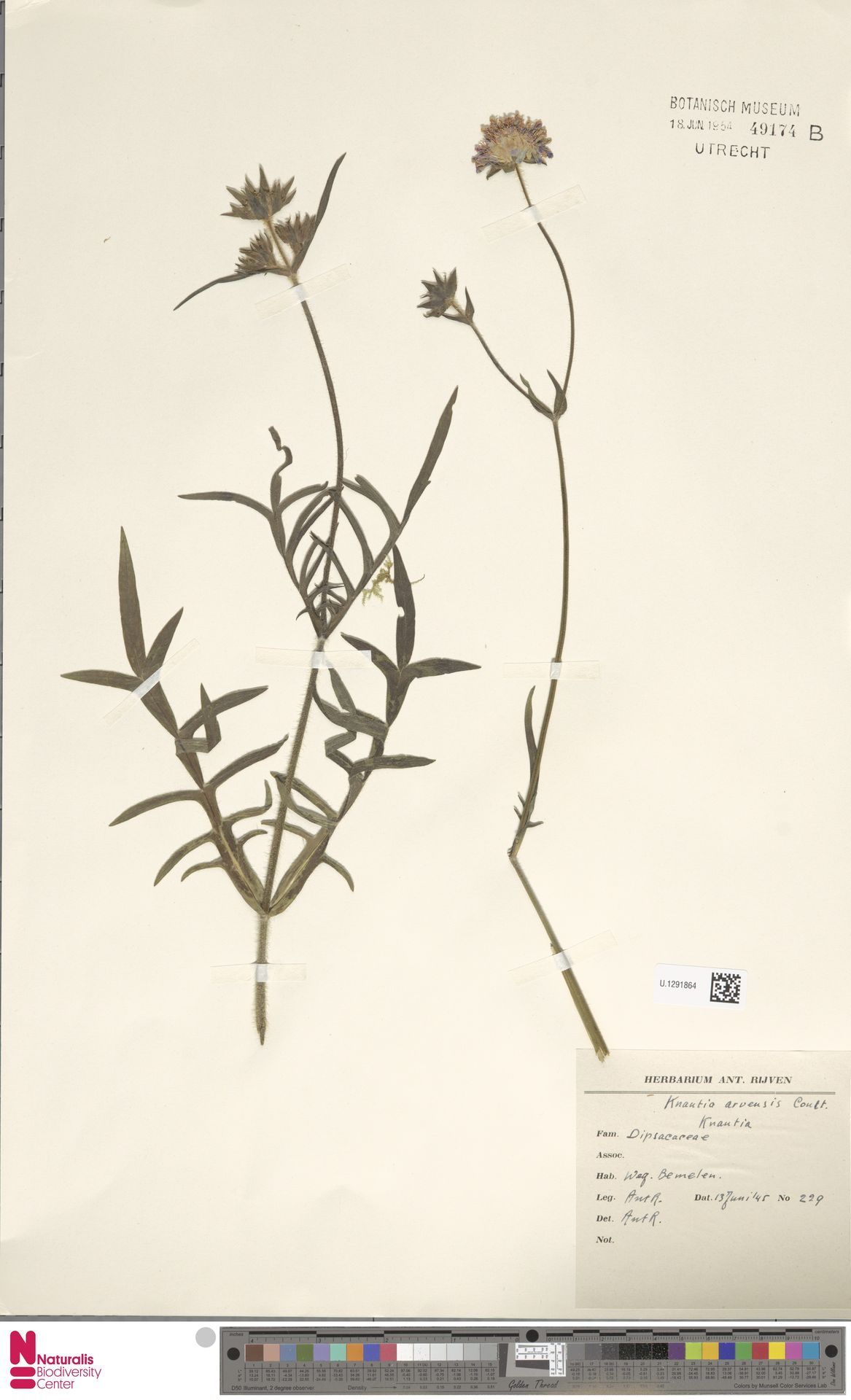 U.1291864 | Knautia arvensis (L.) Coult.