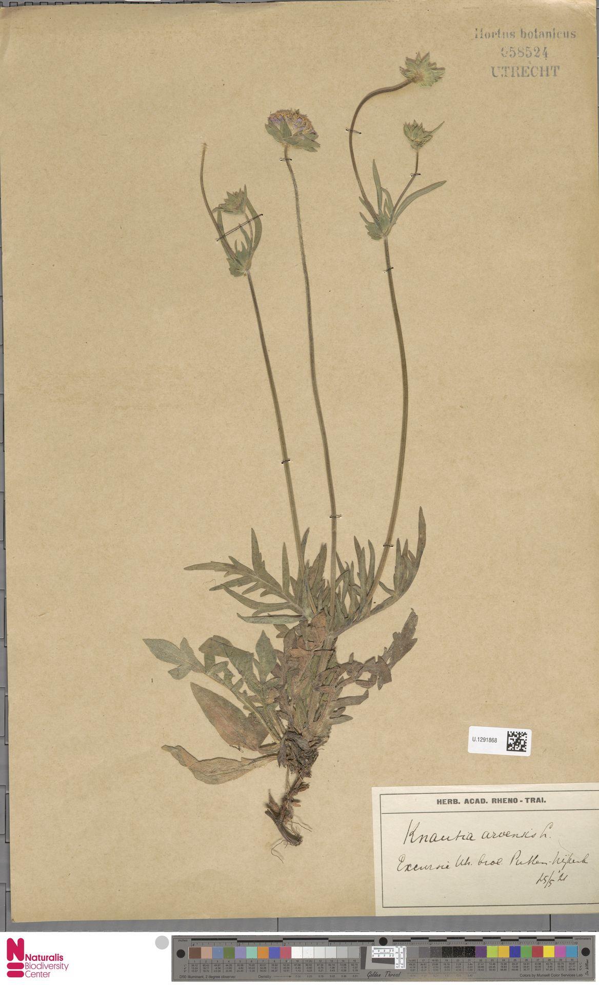 U.1291868 | Knautia arvensis (L.) Coult.
