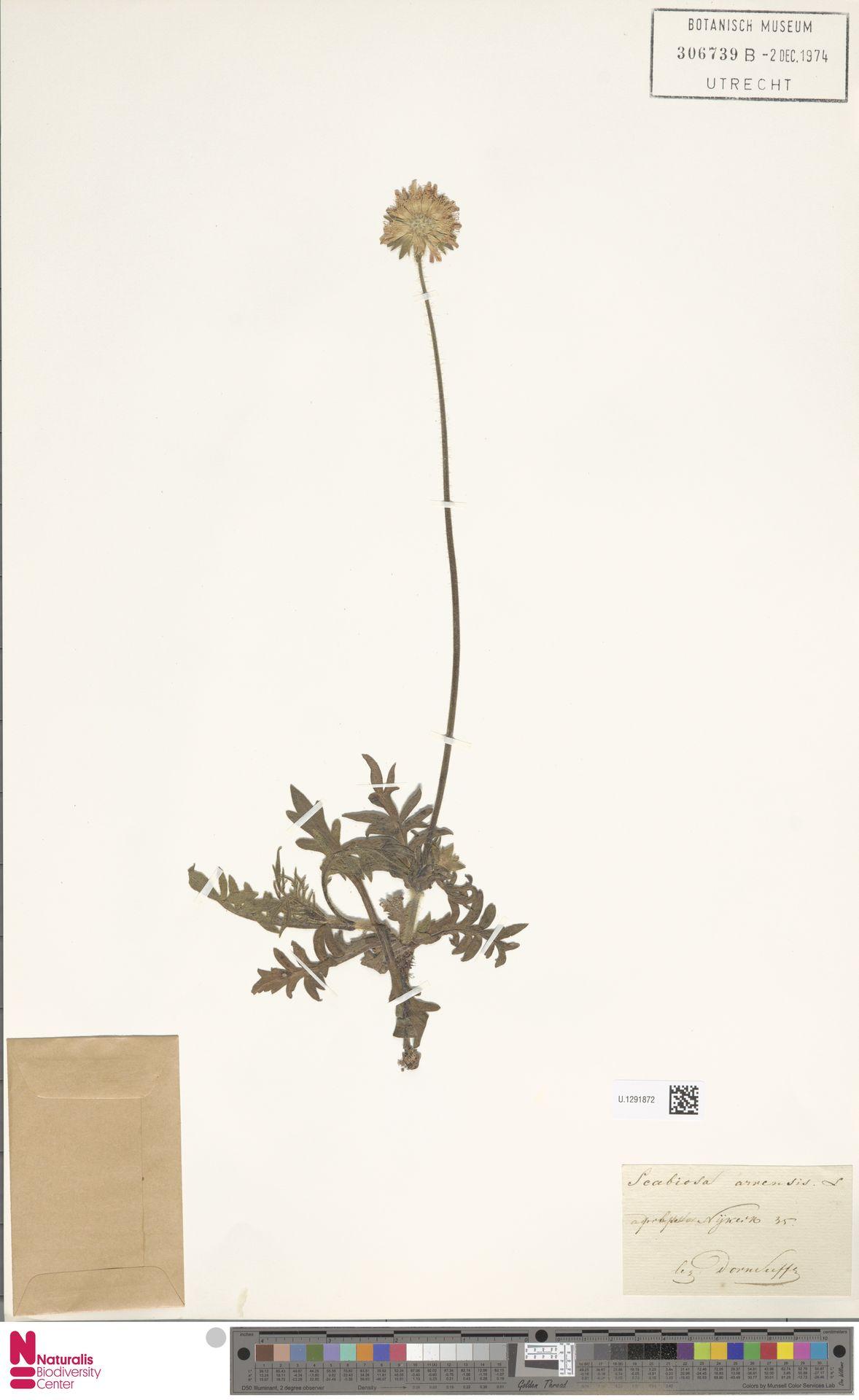 U.1291872 | Knautia arvensis (L.) Coult.