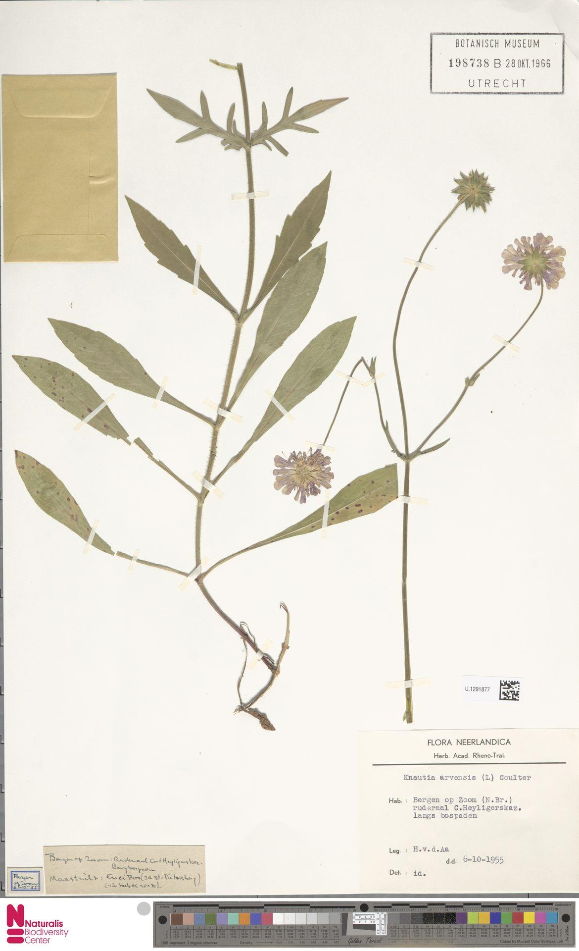 U.1291877 | Knautia arvensis (L.) Coult.