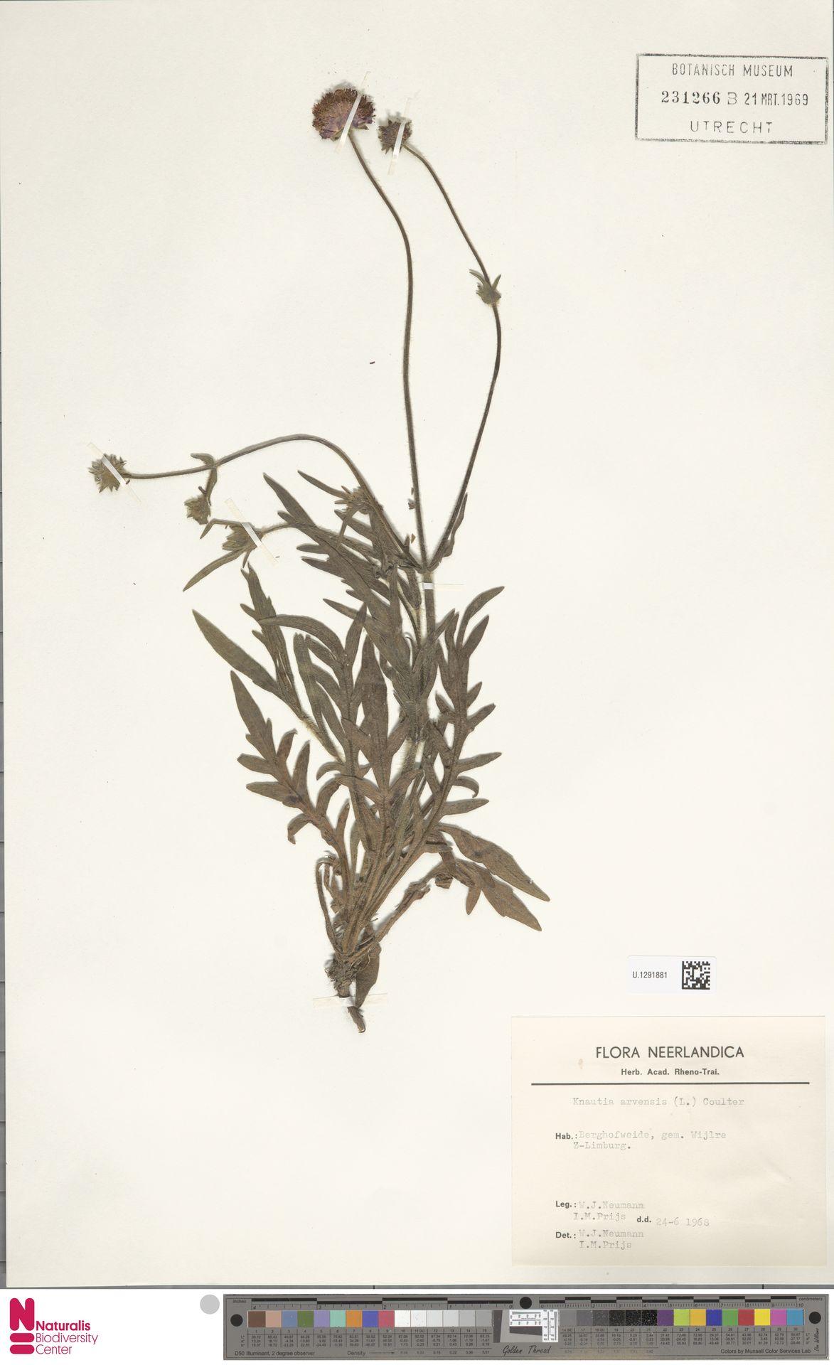 U.1291881 | Knautia arvensis (L.) Coult.