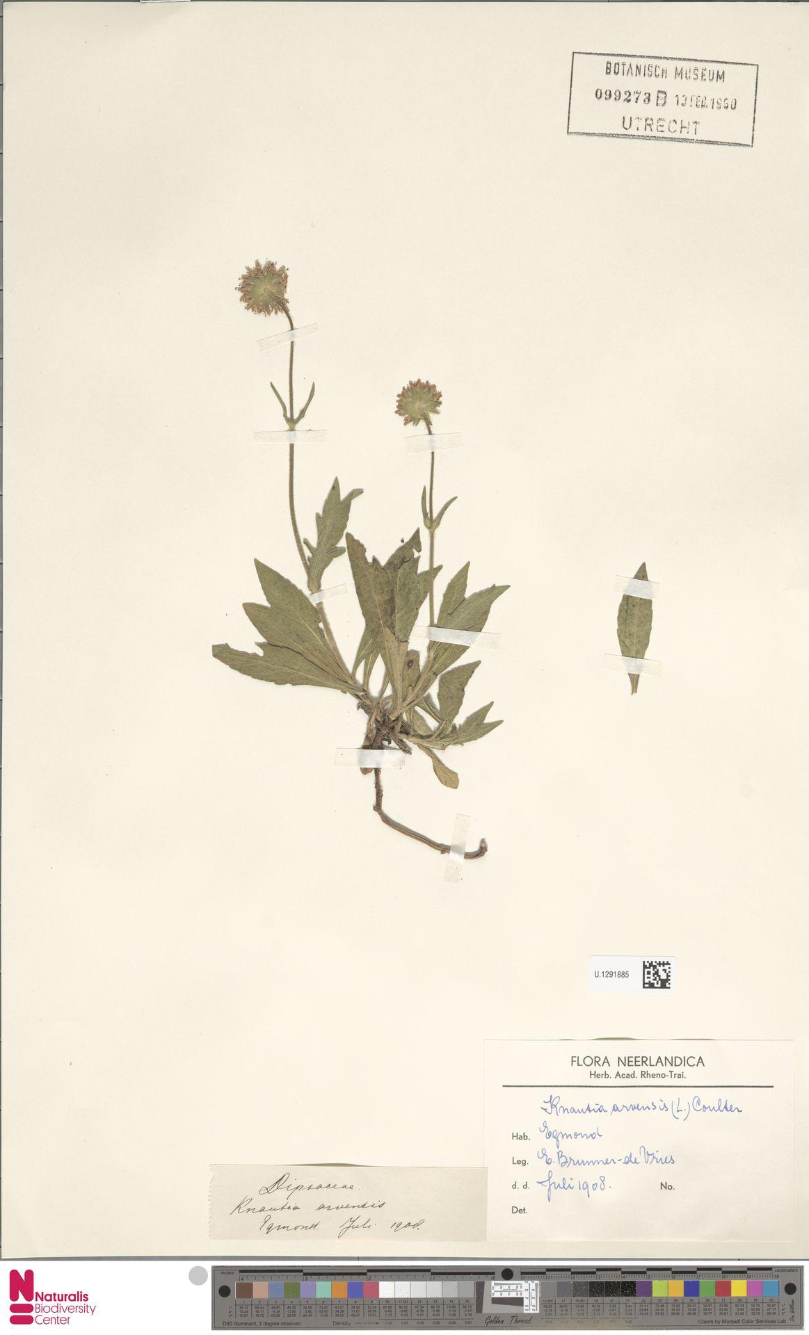 U.1291885 | Knautia arvensis (L.) Coult.