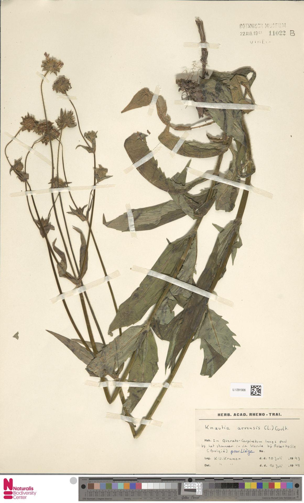 U.1291906 | Knautia arvensis (L.) Coult.
