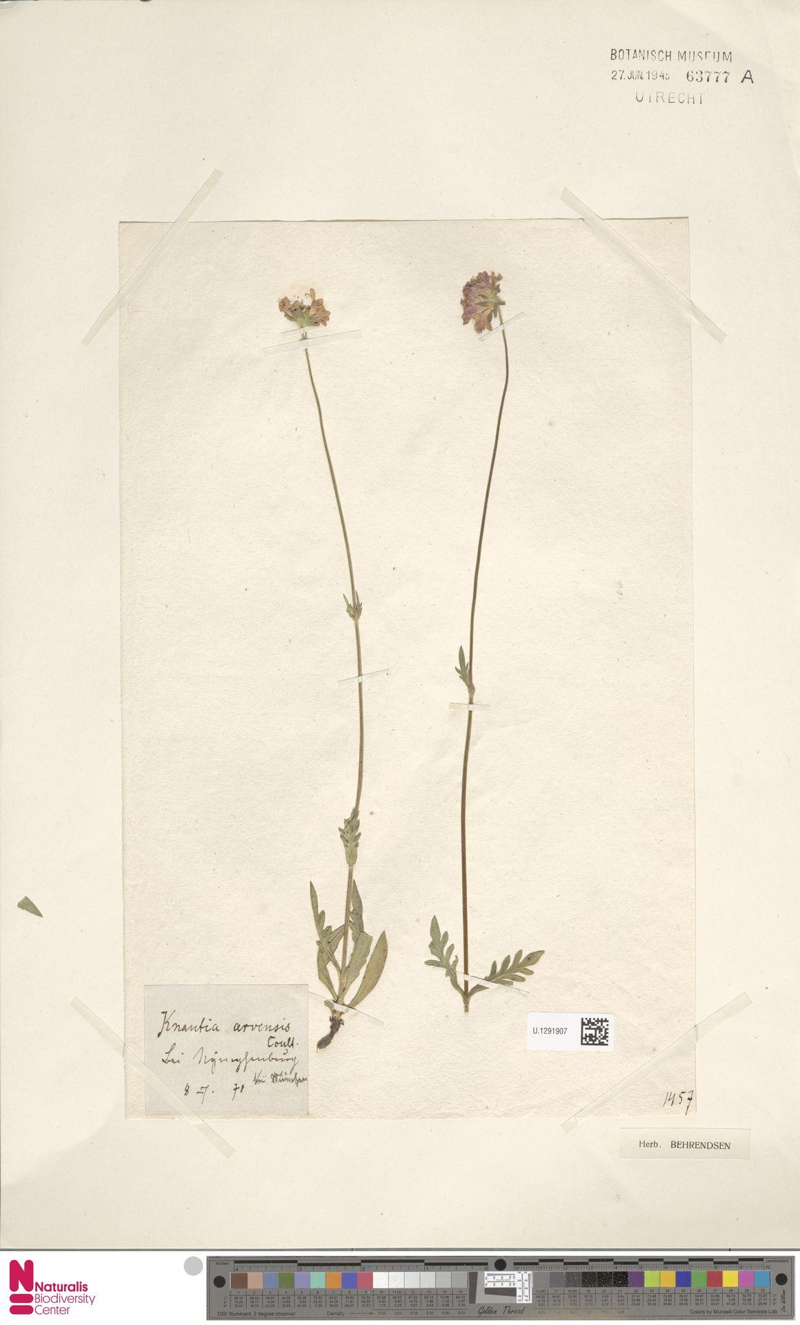 U.1291907   Knautia arvensis (L.) Coult.