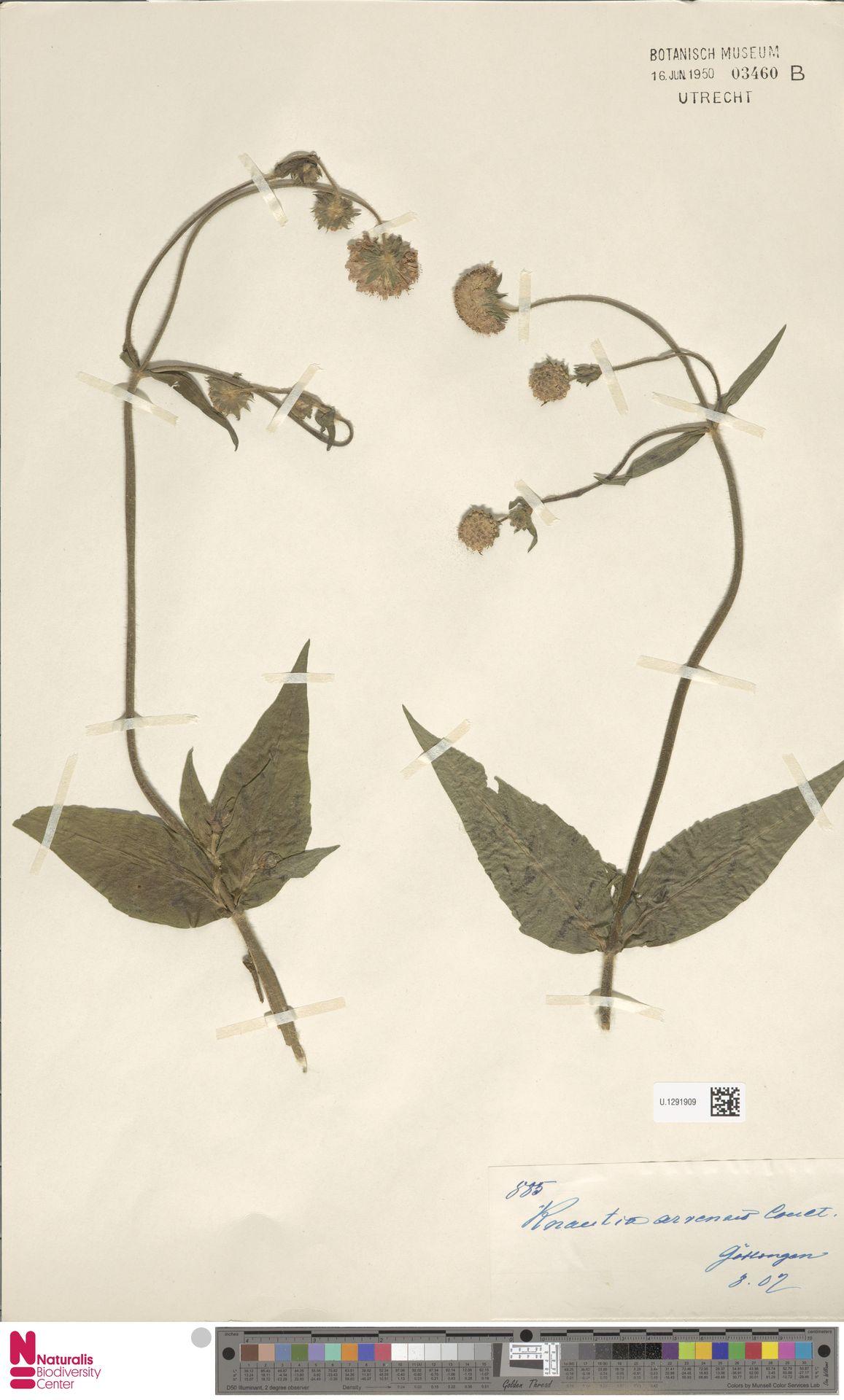 U.1291909   Knautia arvensis (L.) Coult.