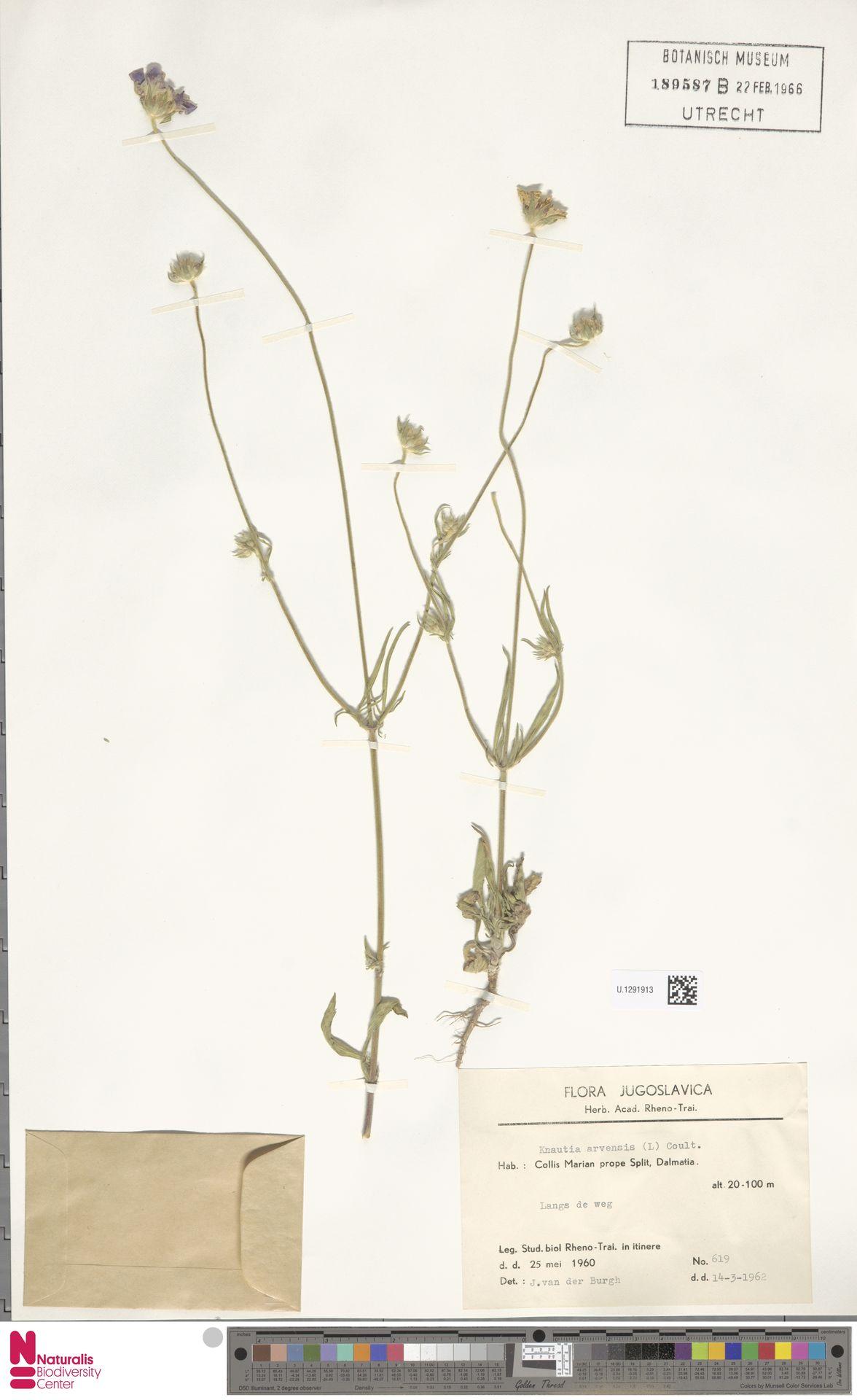 U.1291913   Knautia arvensis (L.) Coult.