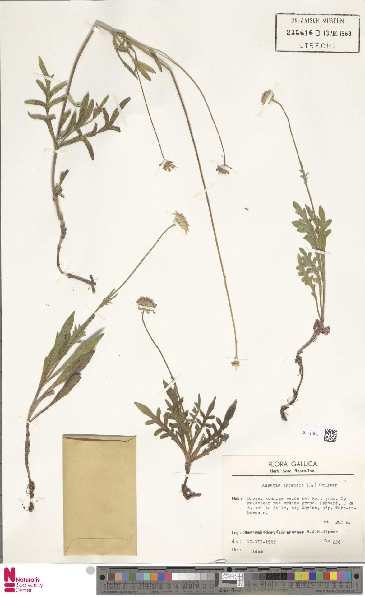 U.1291918 | Knautia arvensis (L.) Coult.