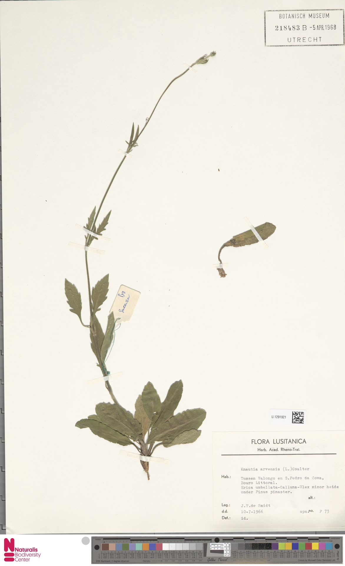U.1291921 | Knautia arvensis (L.) Coult.