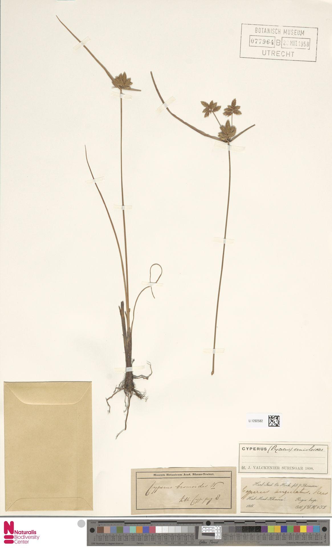 U.1292582 | Cyperus unioloides R.Br.