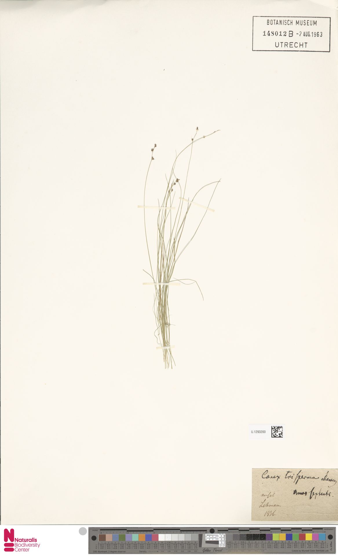 U.1293200 | Carex trisperma Dewey