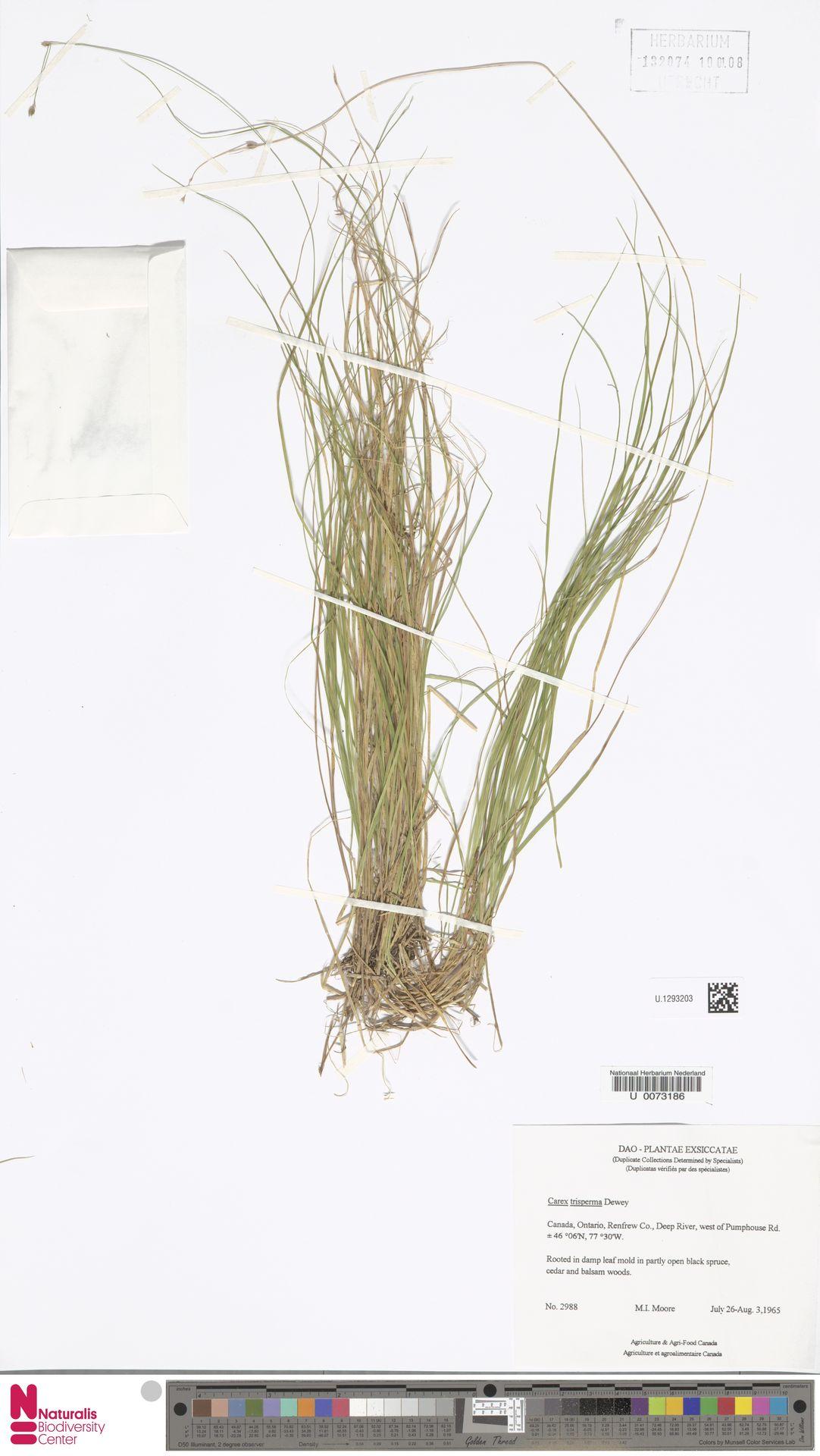 U.1293203 | Carex trisperma Dewey