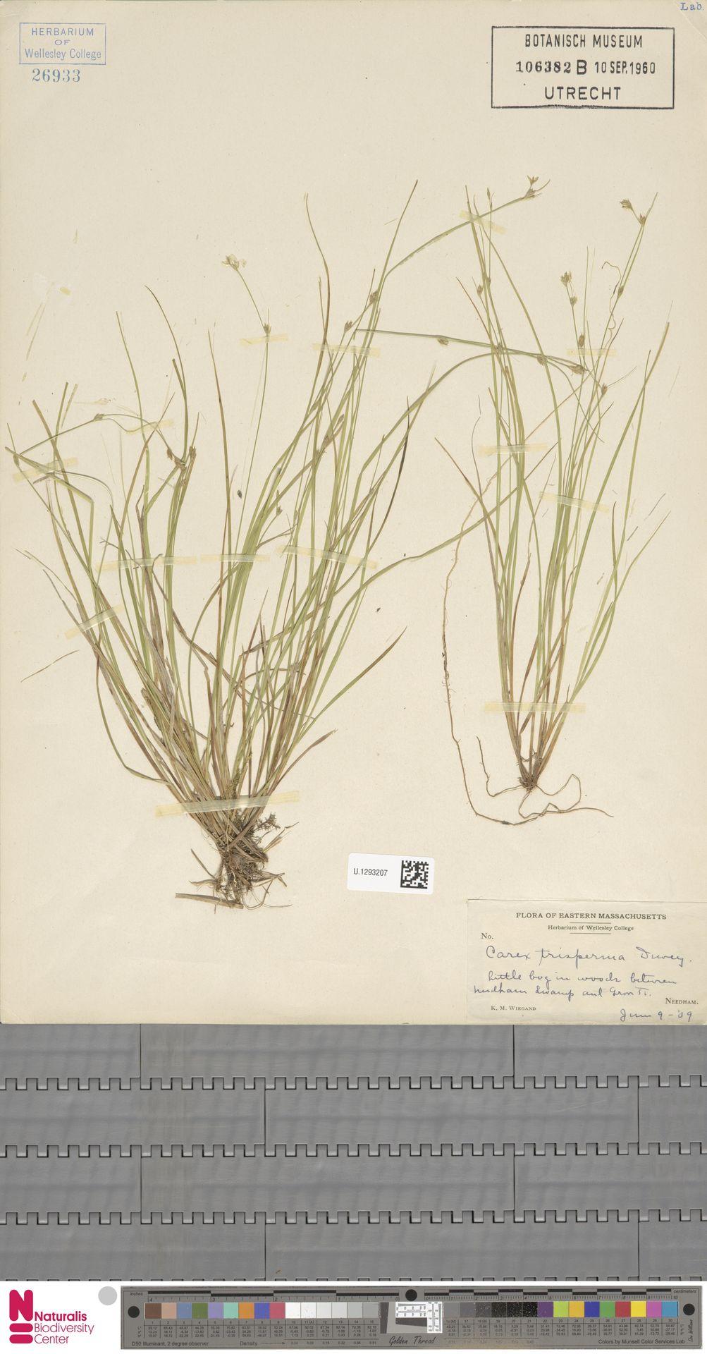 U.1293207 | Carex trisperma Dewey
