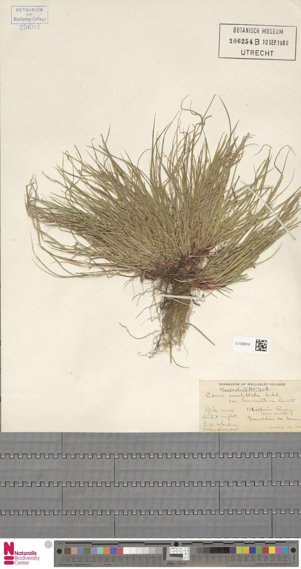 U.1293218 | Carex umbellata var. brevirostris Boott