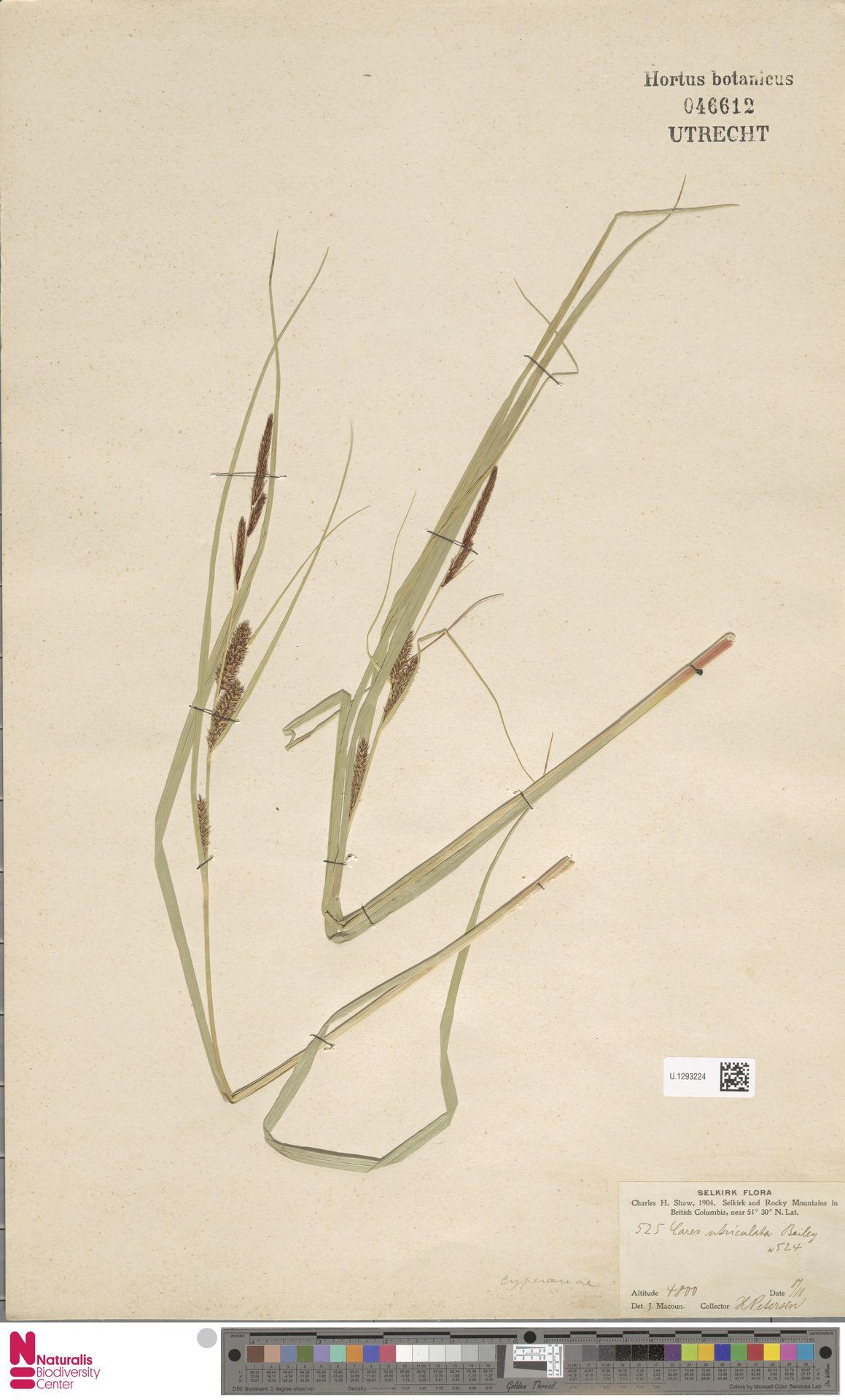U.1293224 | Carex utriculata Boott