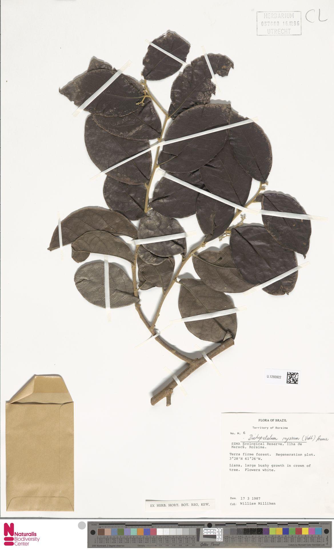 U.1293922   Dichapetalum rugosum (Vahl) Prance