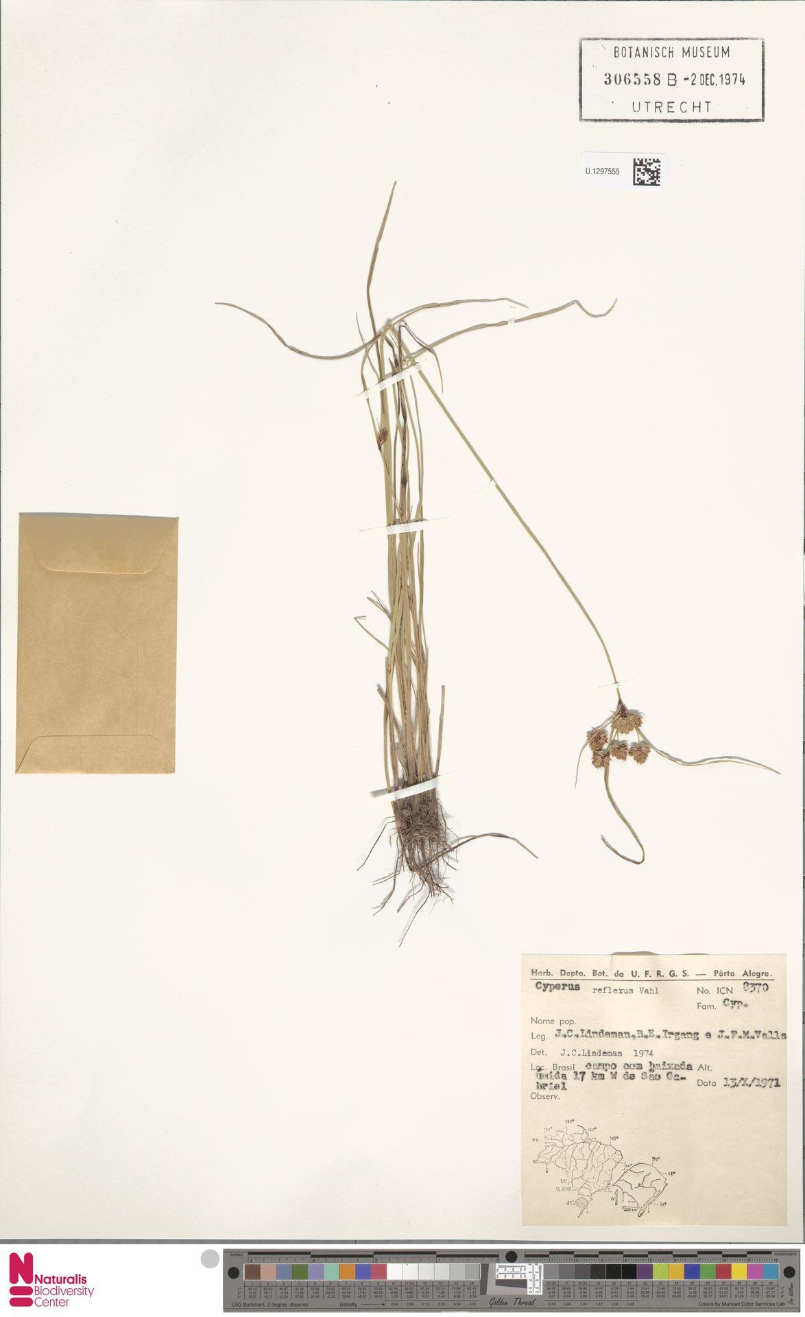 U.1297555 | Cyperus reflexus Vahl