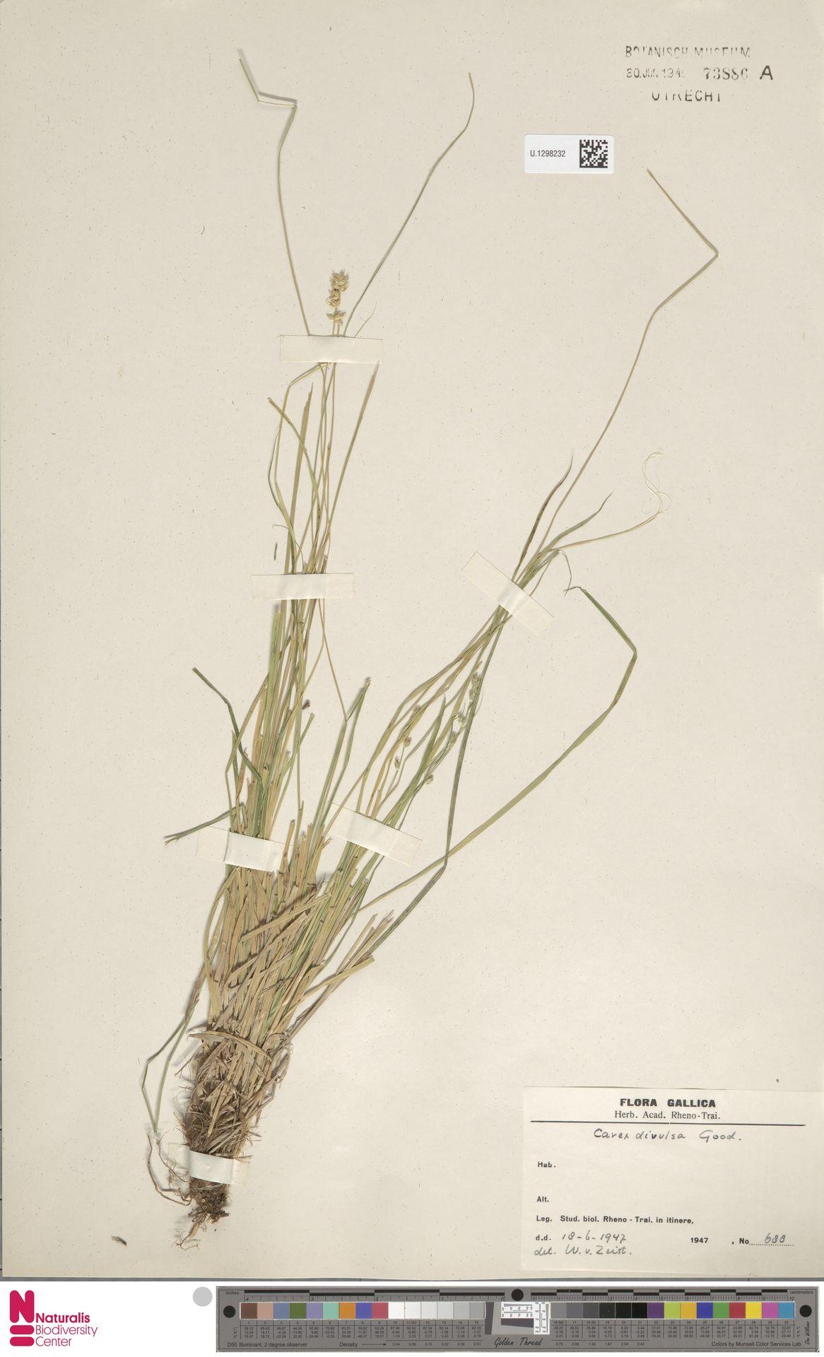 U.1298232 | Carex divulsa Stokes