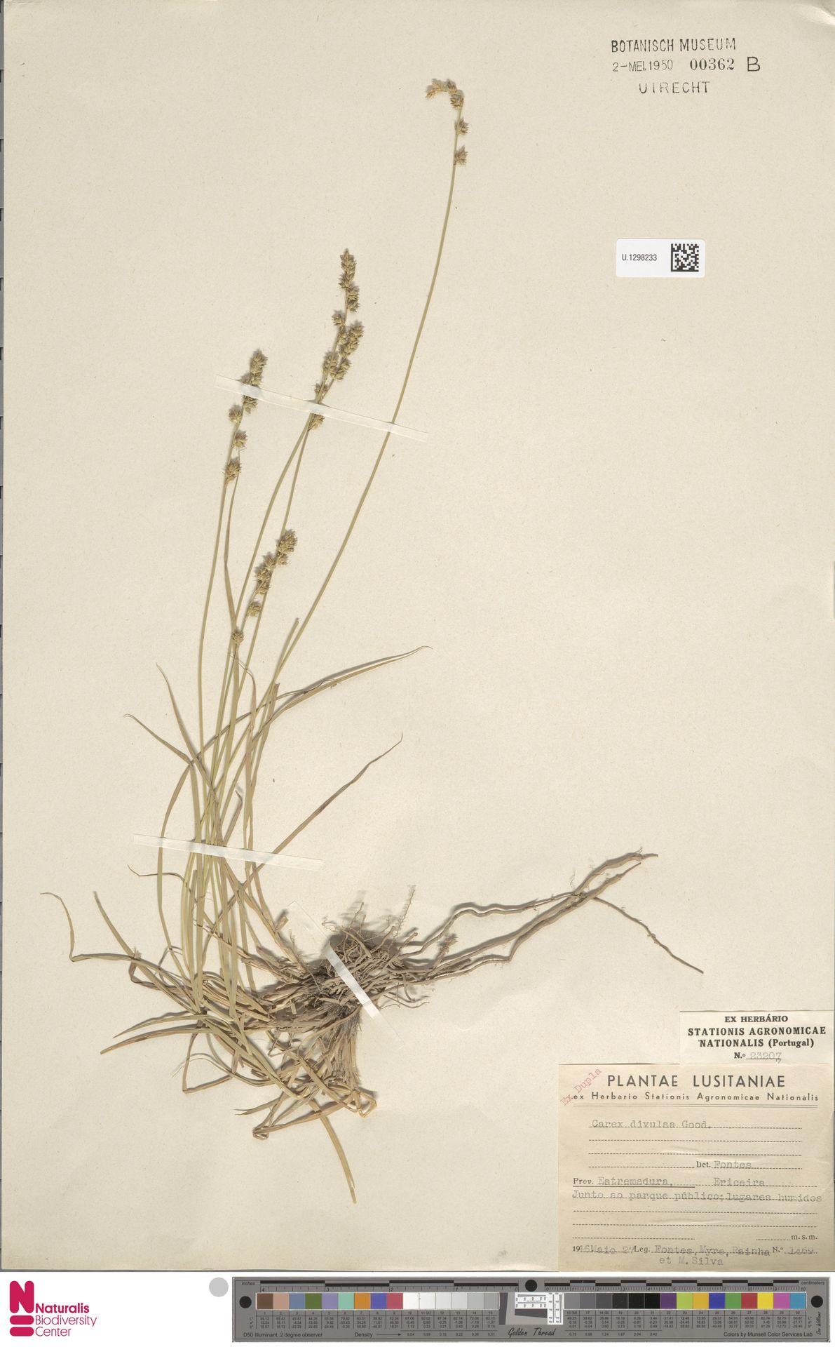 U.1298233 | Carex divulsa Stokes