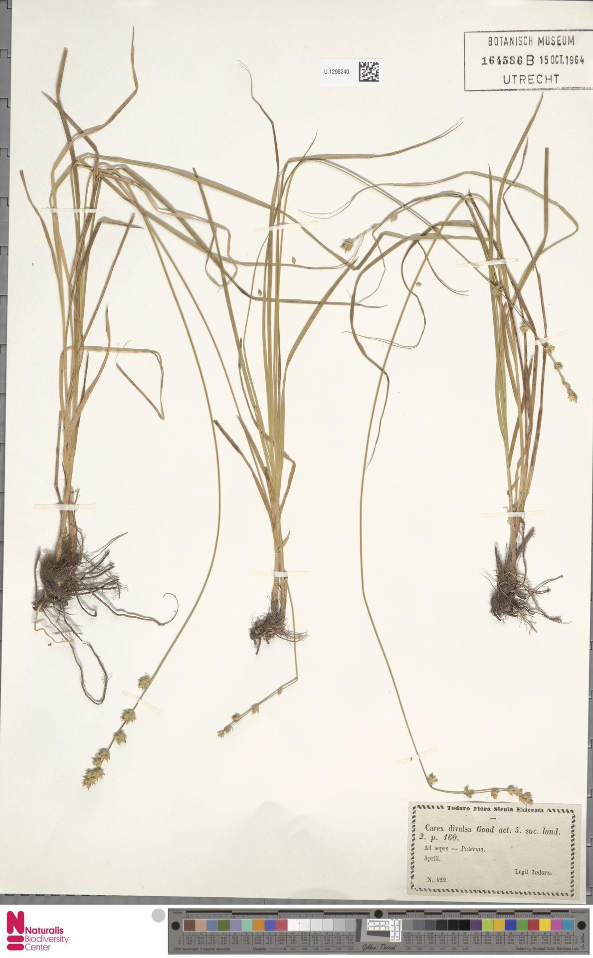U.1298240 | Carex divulsa Stokes