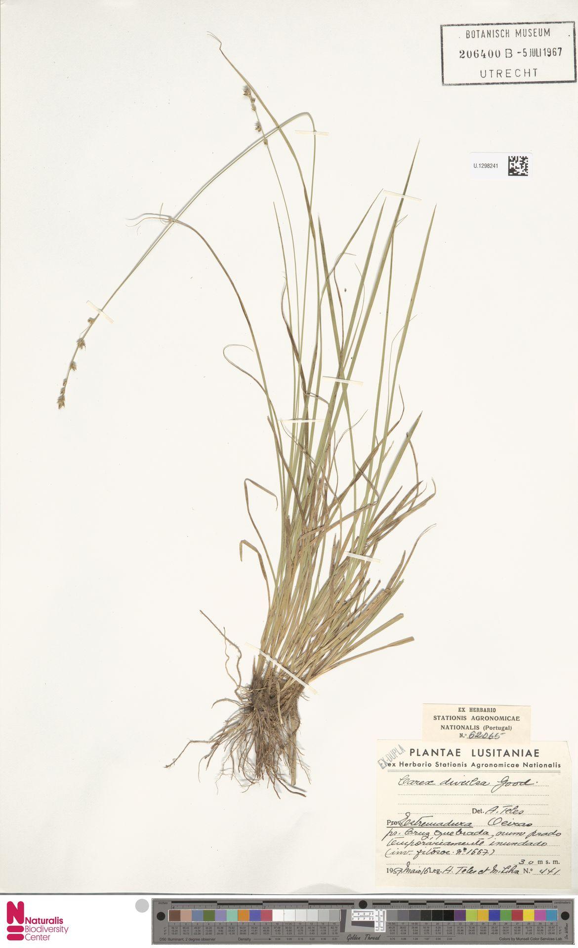 U.1298241   Carex divulsa Stokes