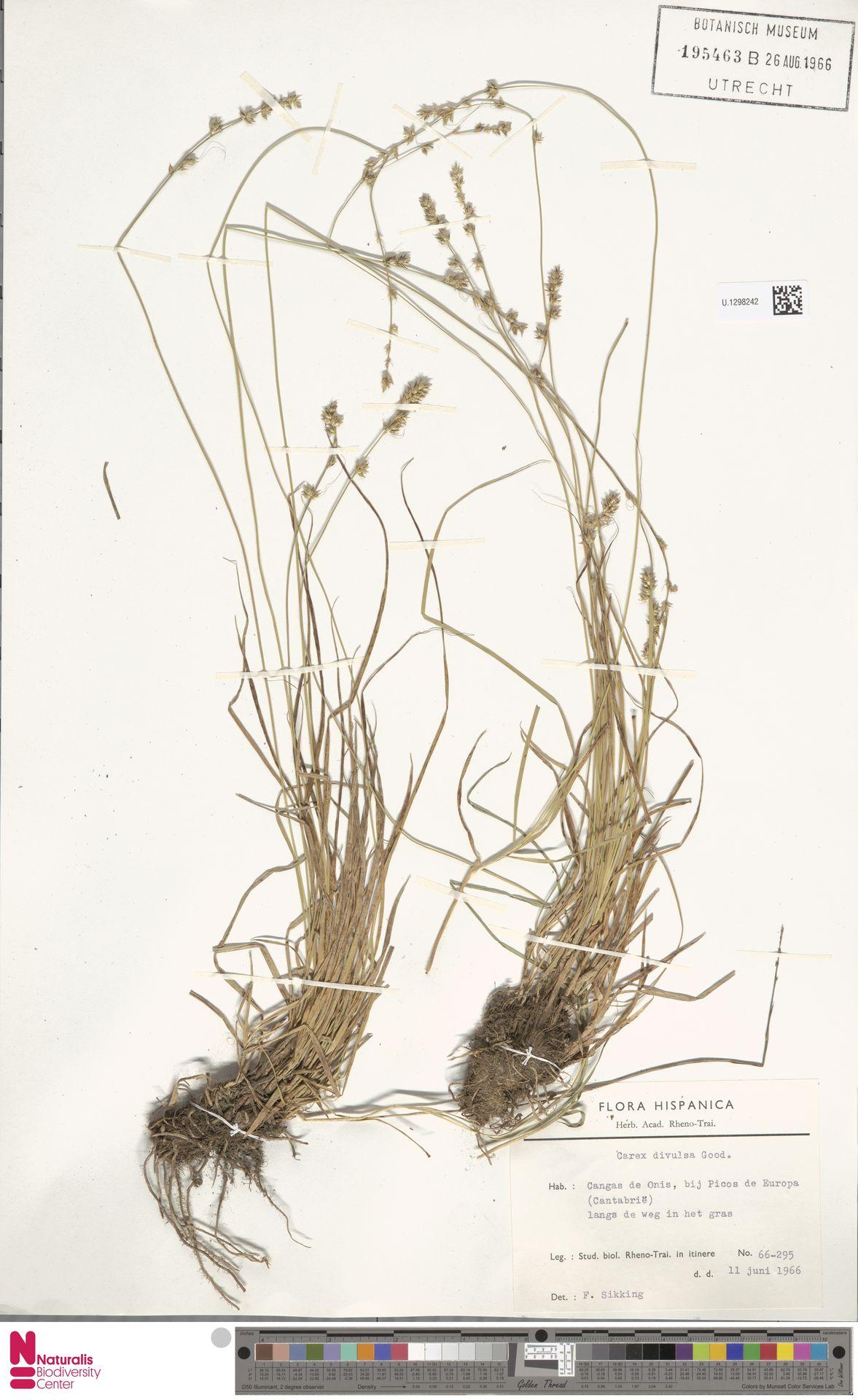 U.1298242 | Carex divulsa Stokes