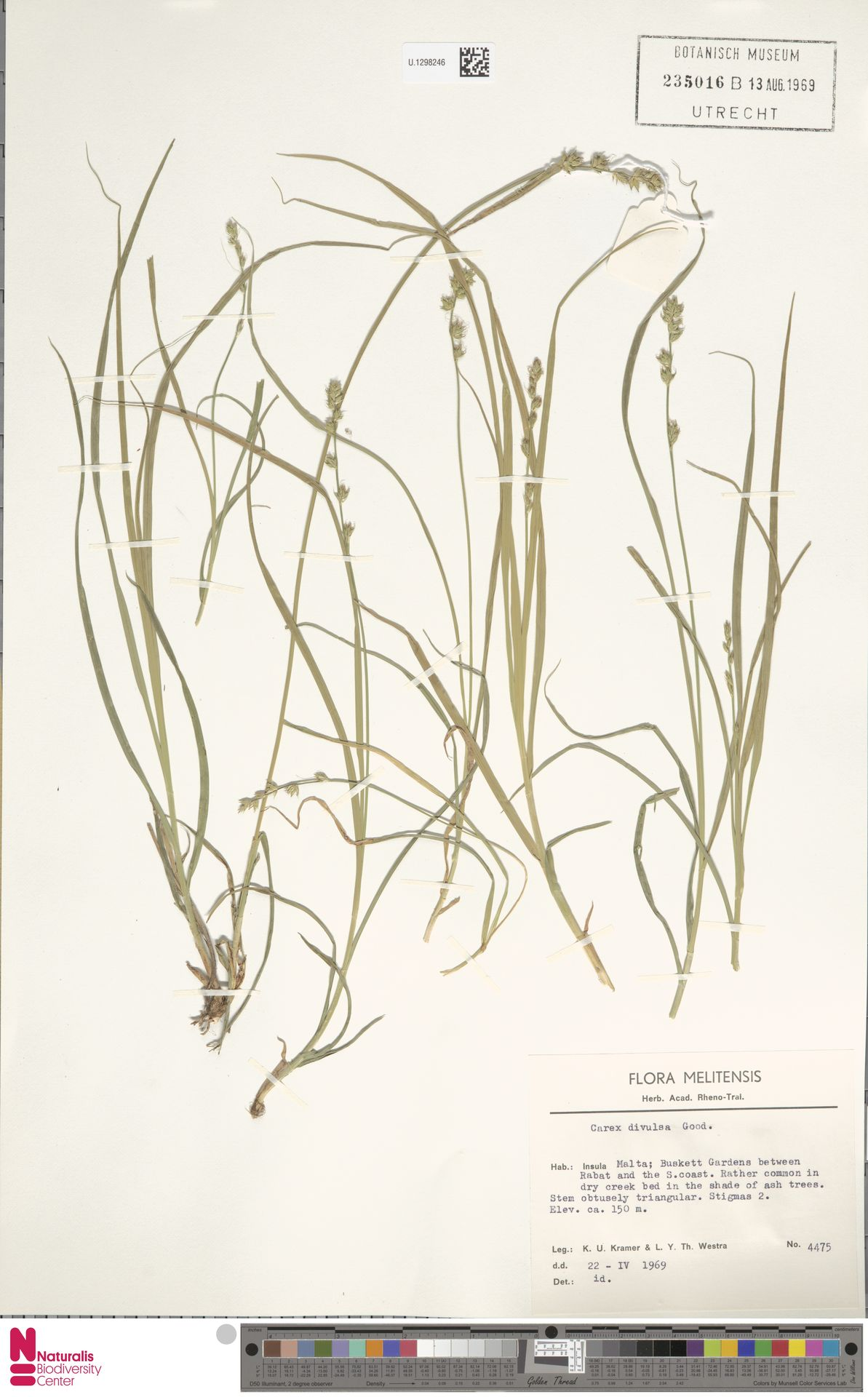 U.1298246 | Carex divulsa Stokes