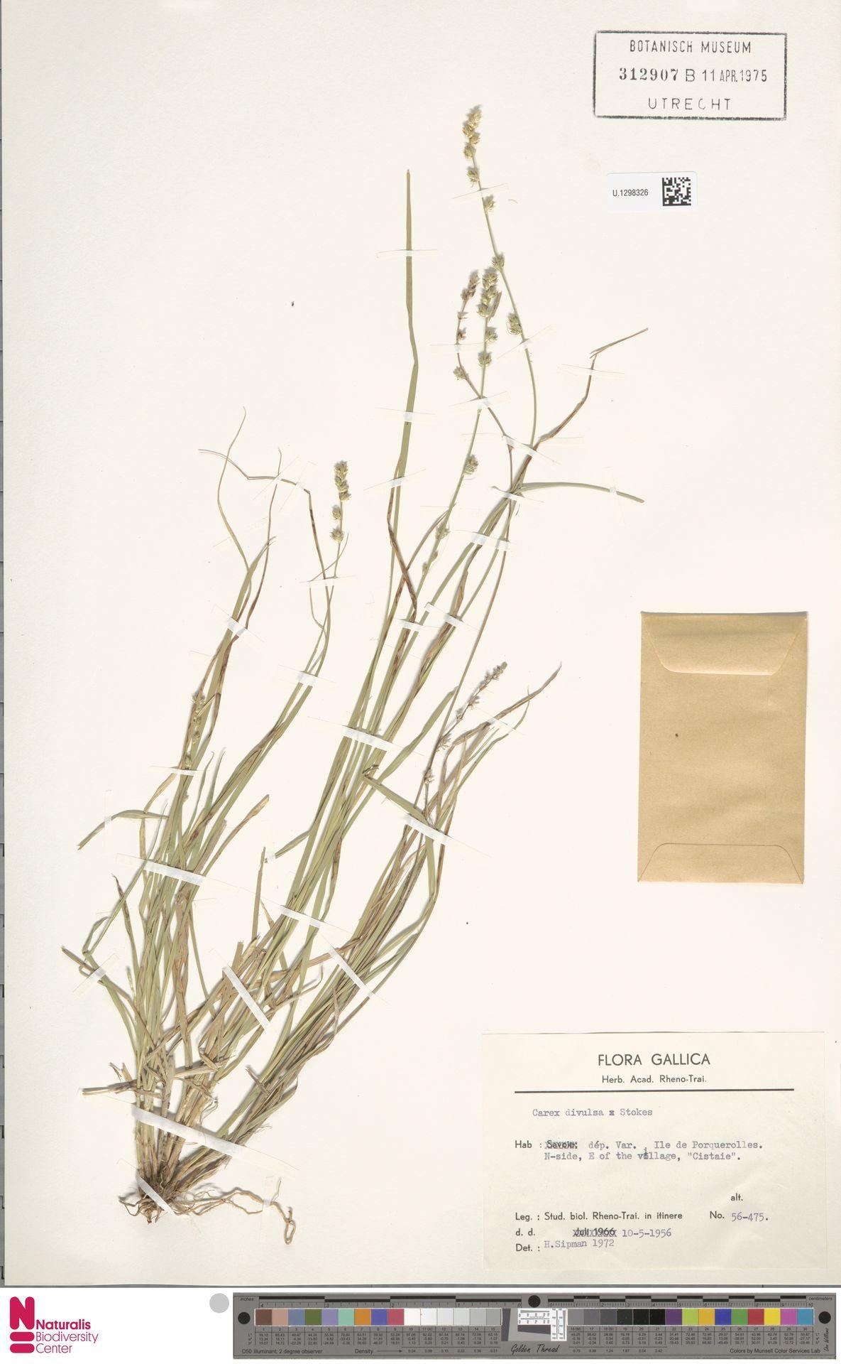 U.1298326 | Carex divulsa Stokes