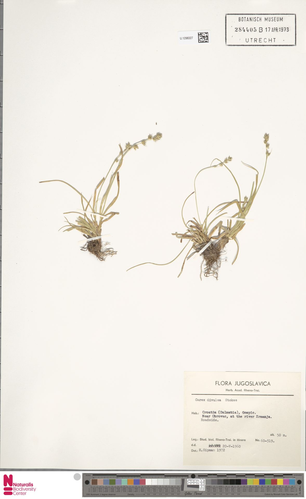 U.1298327   Carex divulsa Stokes