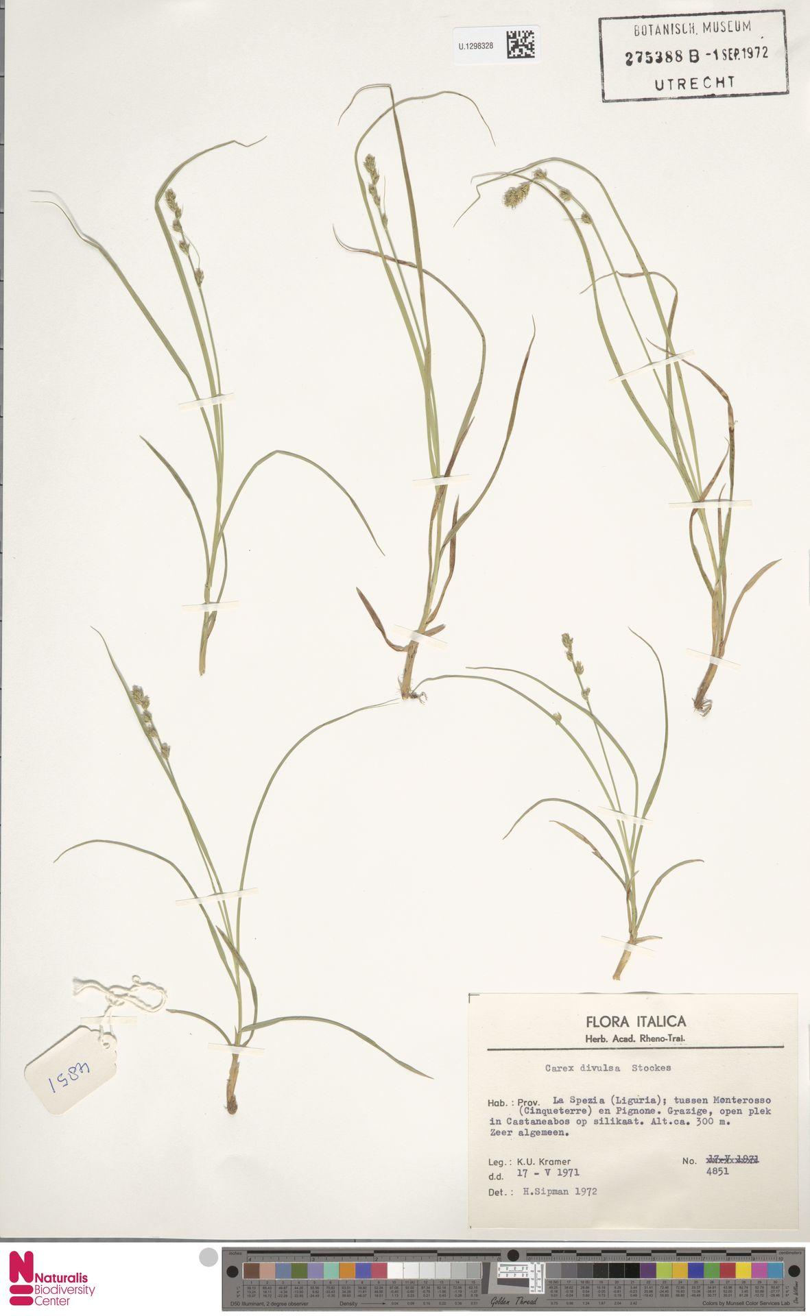 U.1298328 | Carex divulsa Stokes